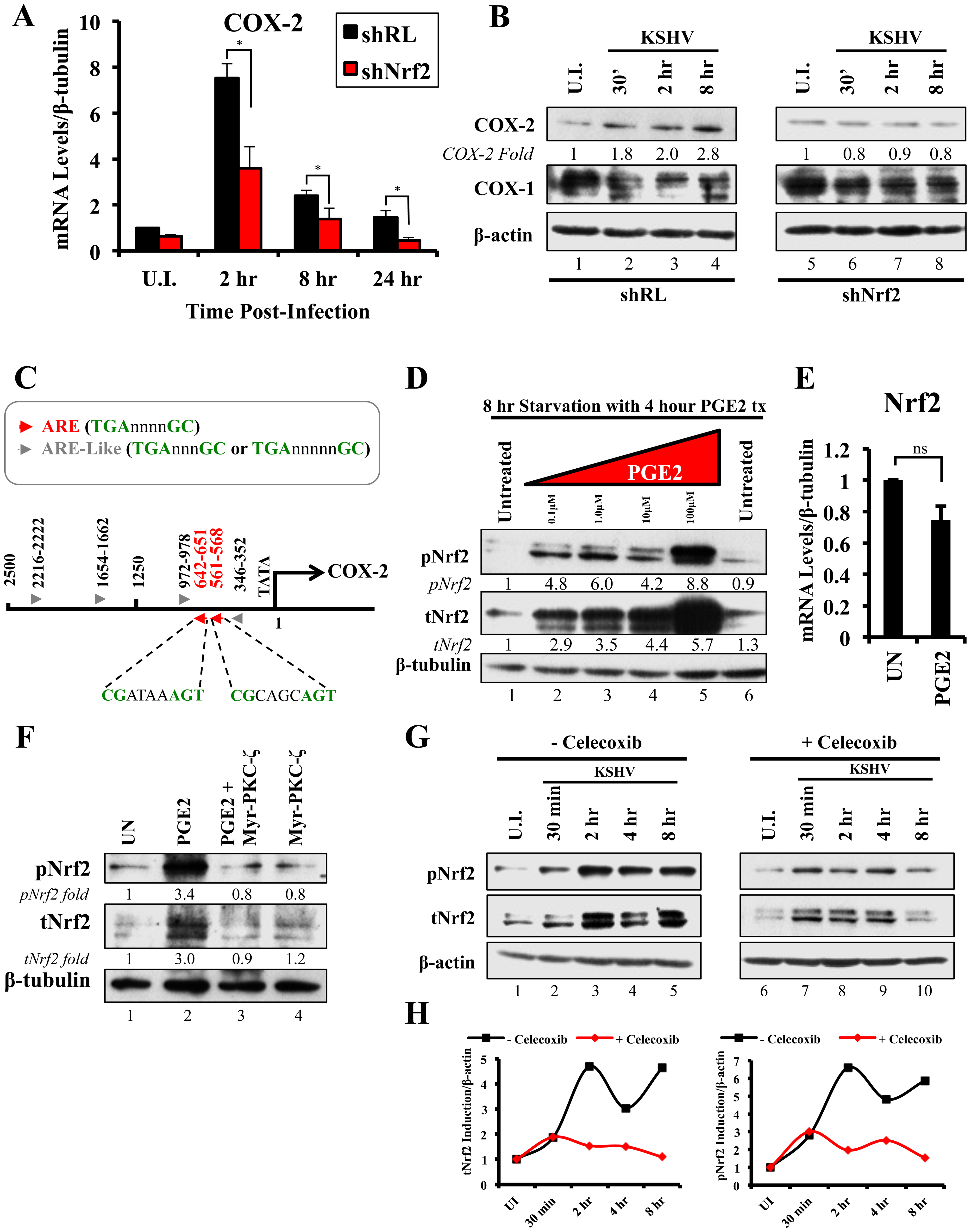 KSHV infection and the Nrf2-COX-2-PGE2 loop.