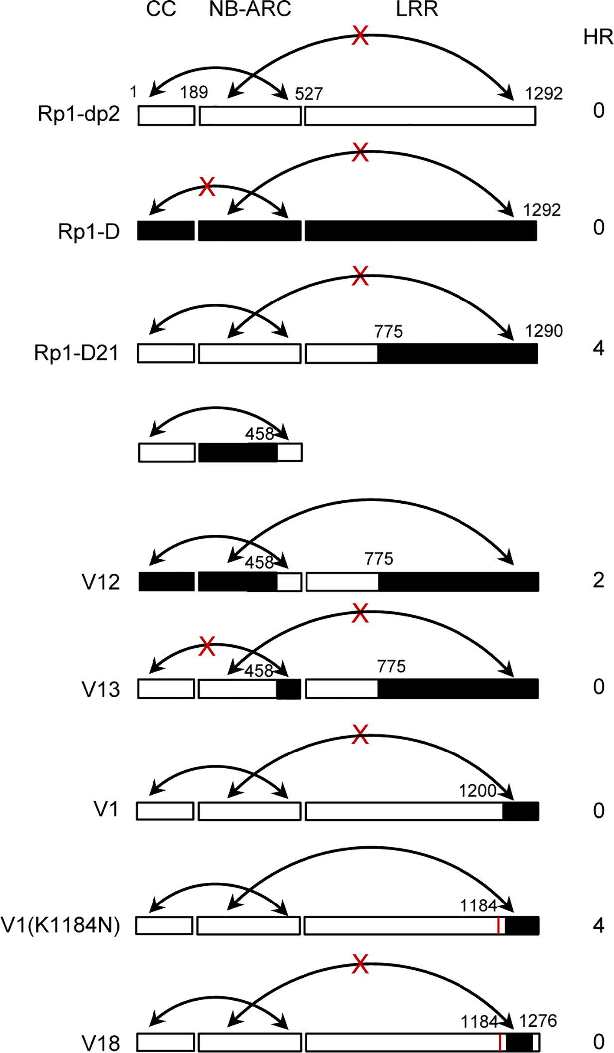 Schematic diagram of the intra-molecular interactions and HR phenotype of the constructs indicated, summarizing the data shown in <em class=&quot;ref&quot;>S7 Fig</em>. in which the various domains were co-expressed and co-immunoprecipitated <i>in trans</i>.