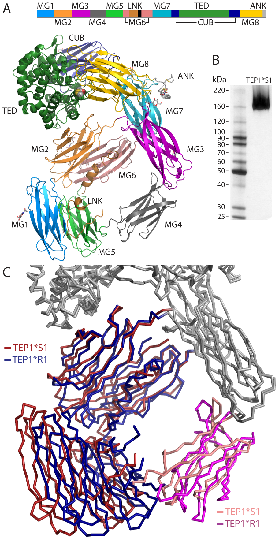 Overview of TEP1*S1 structure.
