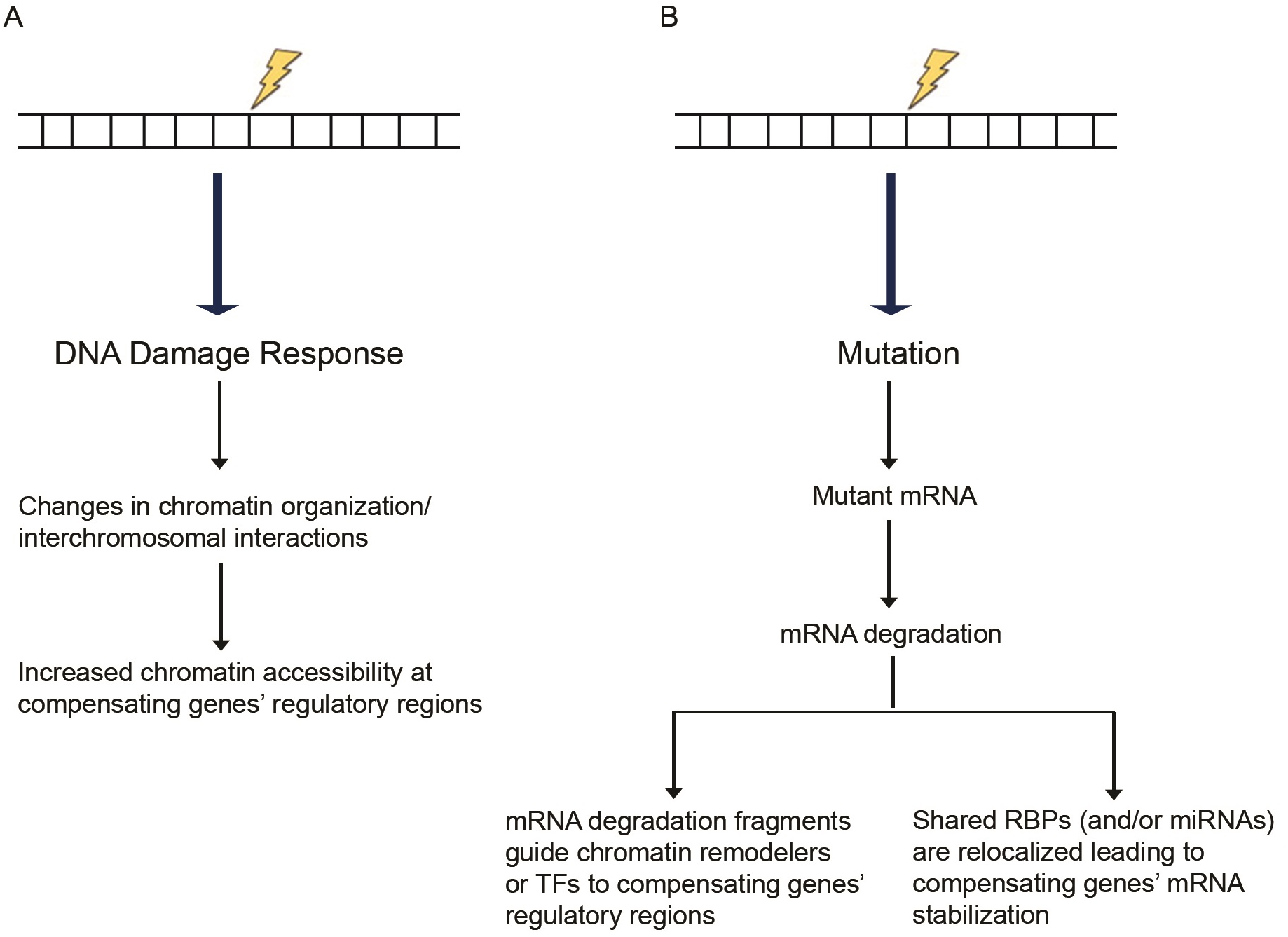 Proposed models of transcriptional adaptation.