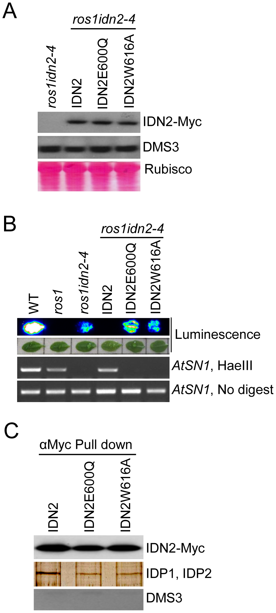 Effect of the mutations in the IDN2 XH domains on the IDN2 complex in <i>Arabidopsis</i>.