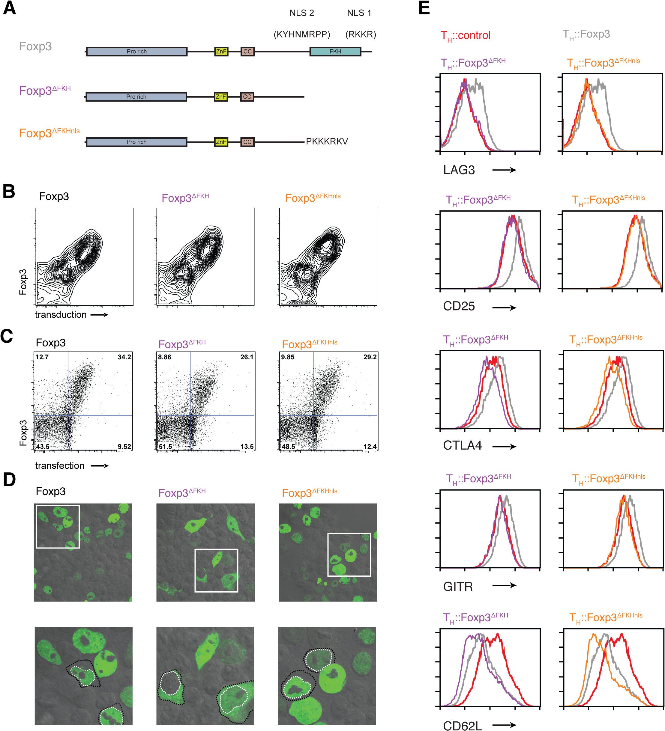 The role of nuclear localisation signals in the forkhead domain of Foxp3.