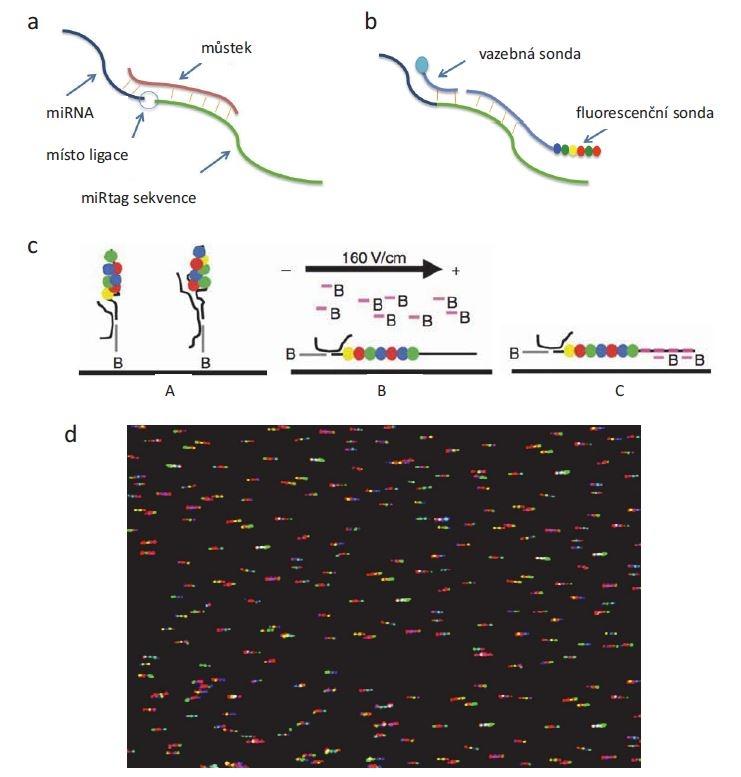 Princip detekce miRNA pomocí technologie NanoString. miRNA je nejdřív a) spojena ligací s miRtag sekvencí, b) řetězec miRNA-miRtag je hybridizován s vazební a fluorescenční sondou, c) výsledný komplex je pak (A) imobilizován na sklíčku, (B) elektrostaticky přitažen k povrchu, (C) a 5' konec fluorescenční sondy hybridizován s další biotinylovanou sondou, která zafi xuje řetězec v požadované orientaci. Pomocí kamery d) se stanoví umístění a počet jednotlivých fluorescenčních značek.