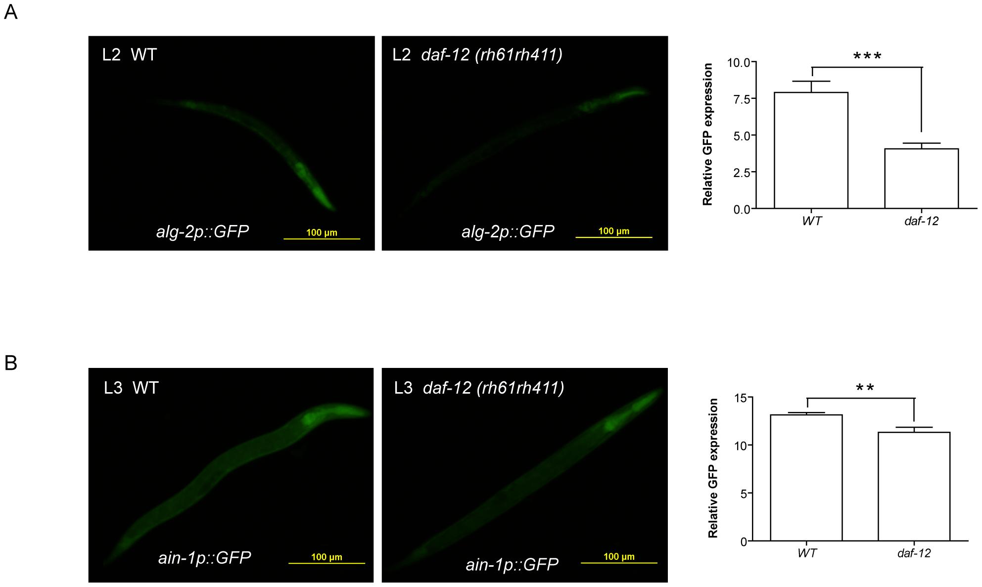 DAF-12 regulates expression of miRISC genes.