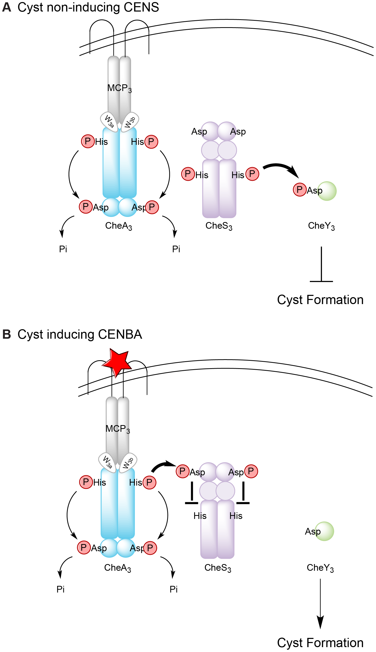 Model for regulation of Che<sub>3</sub> signal transduction pathway.
