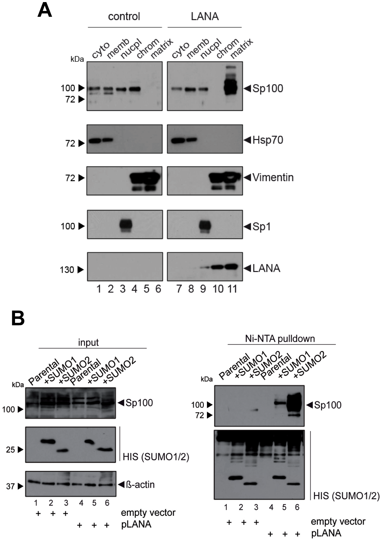 LANA induces relocalization and SUMOylation of Sp100.