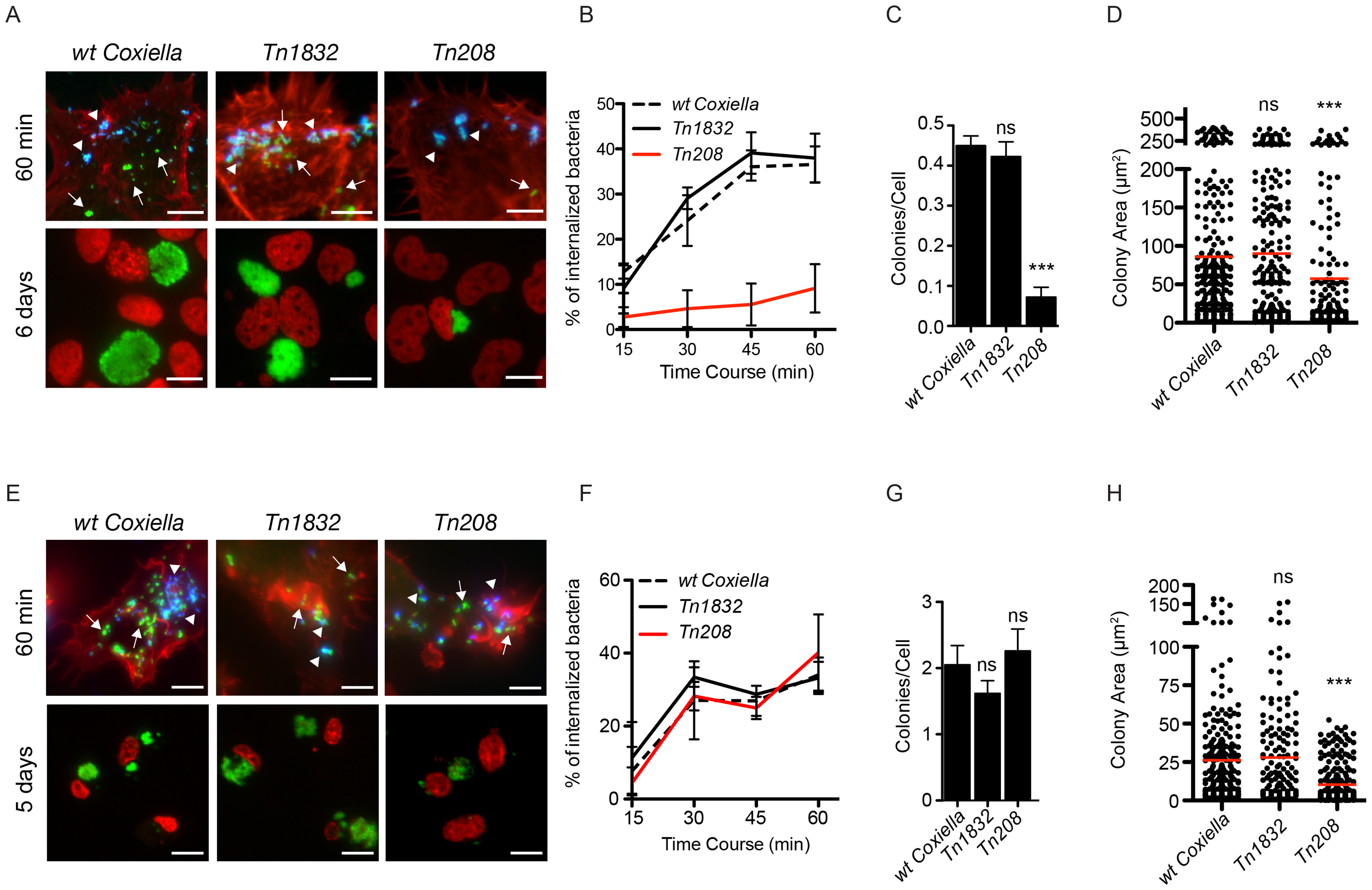 <i>Coxiella</i> OmpA is involved in host cell invasion and intracellular replication.