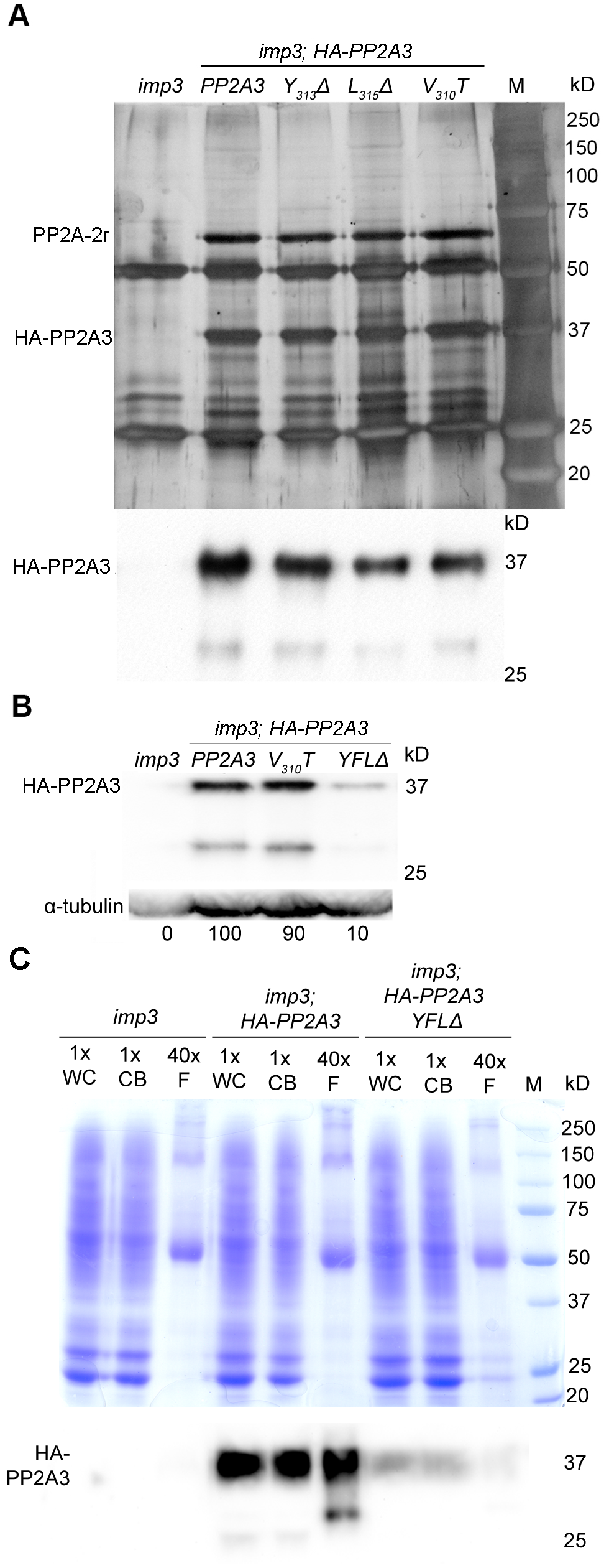 HA-PP2A3 interacts with a scaffold subunit protein and localizes to the flagella.