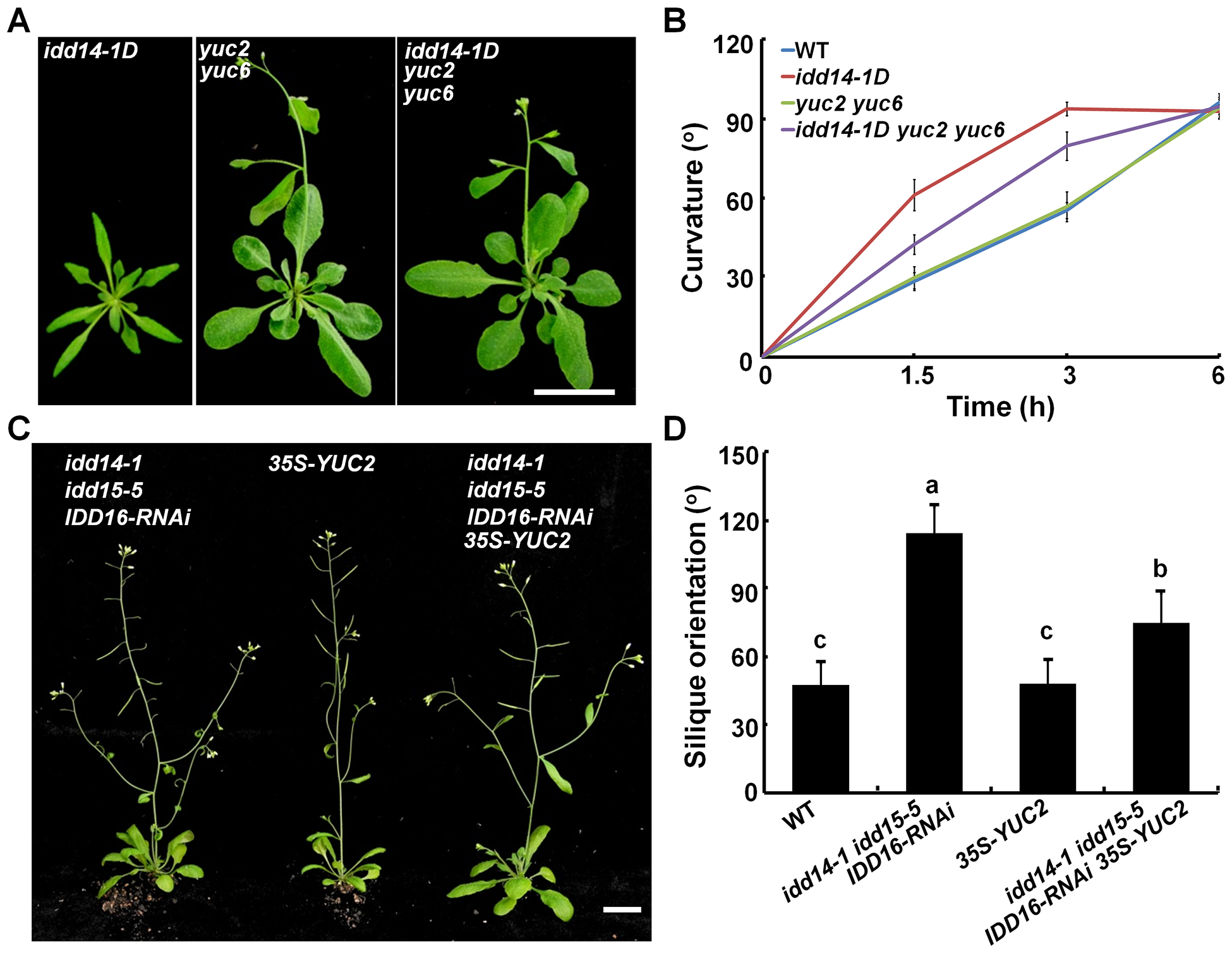 Genetic interaction of auxin biosynthesis and IDD-mediated organ morphogenesis and gravitropism.