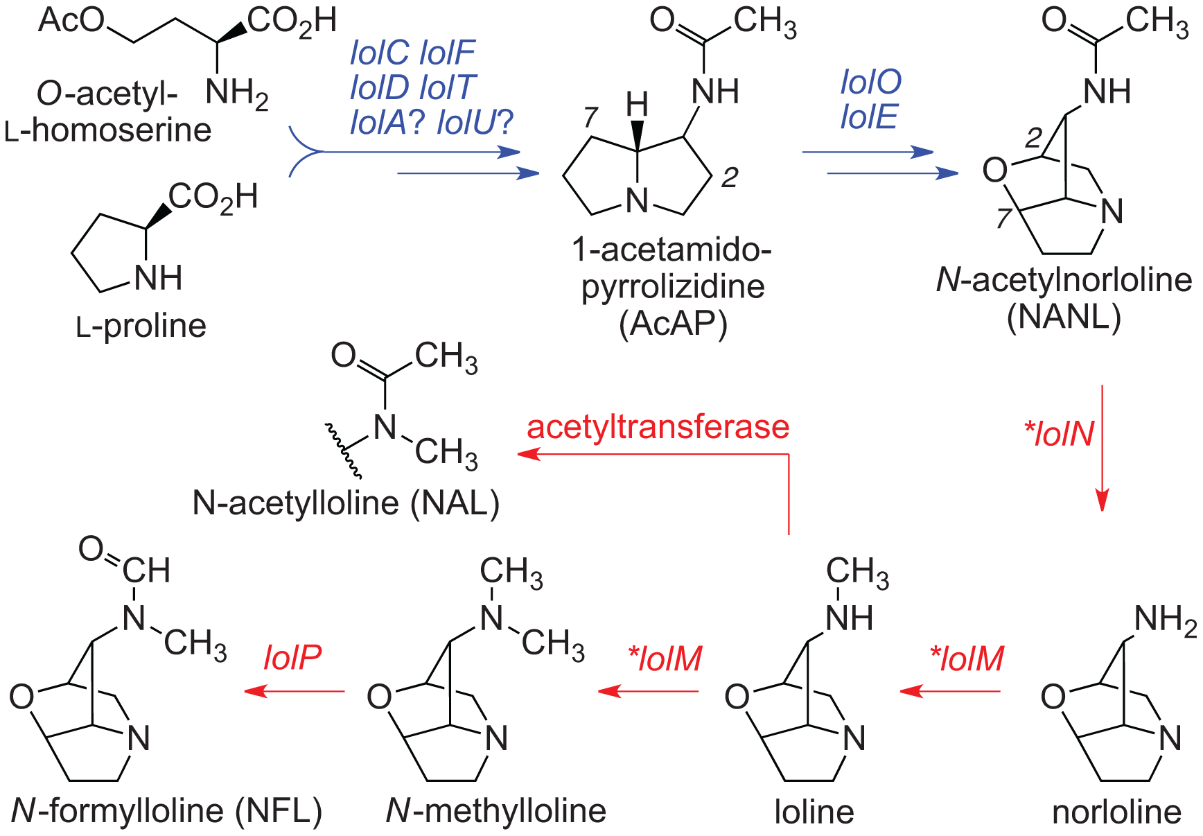 Summary of loline alkaloid-biosynthesis pathway.