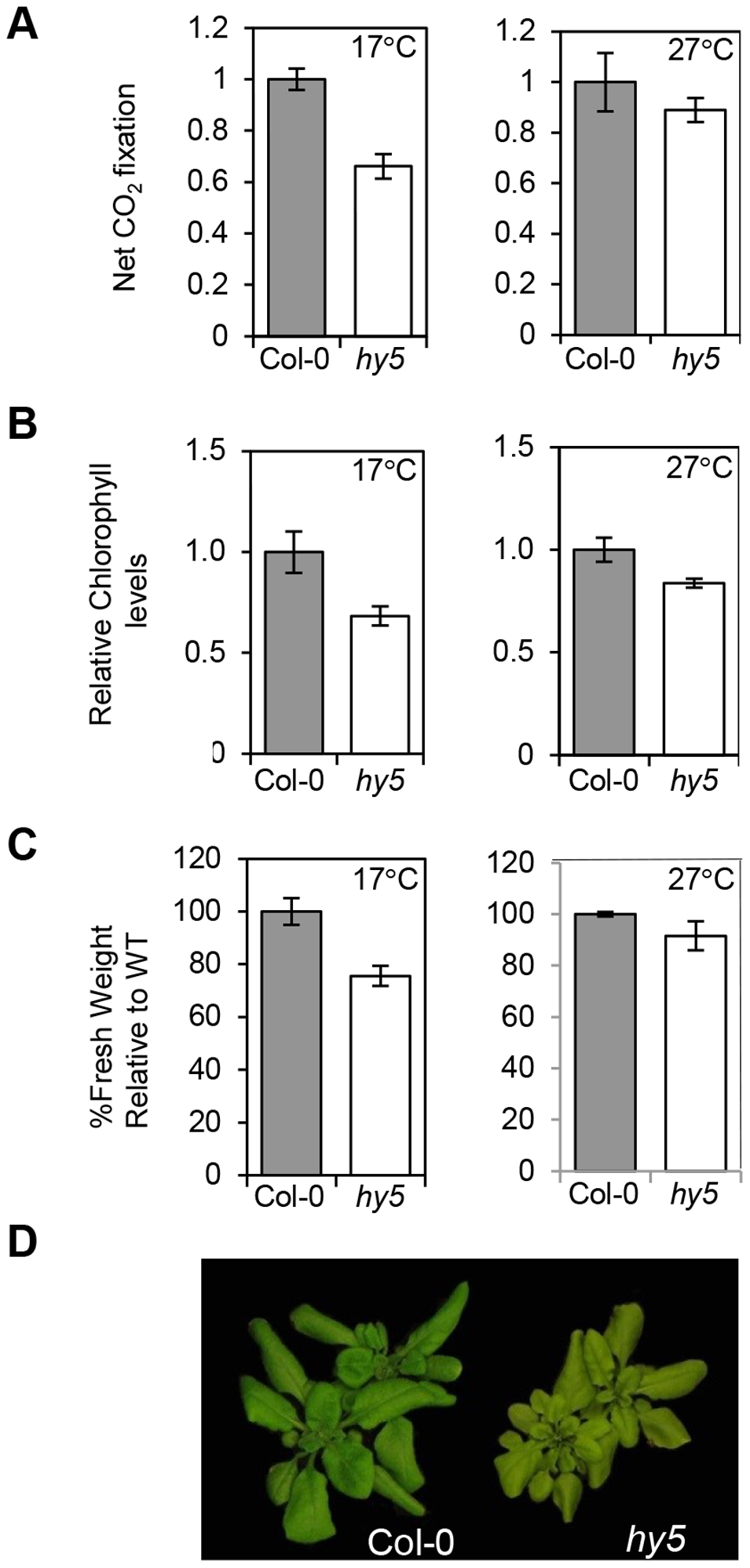 HY5 modulates photosynthetic acclimation efficiency at low temperatures.