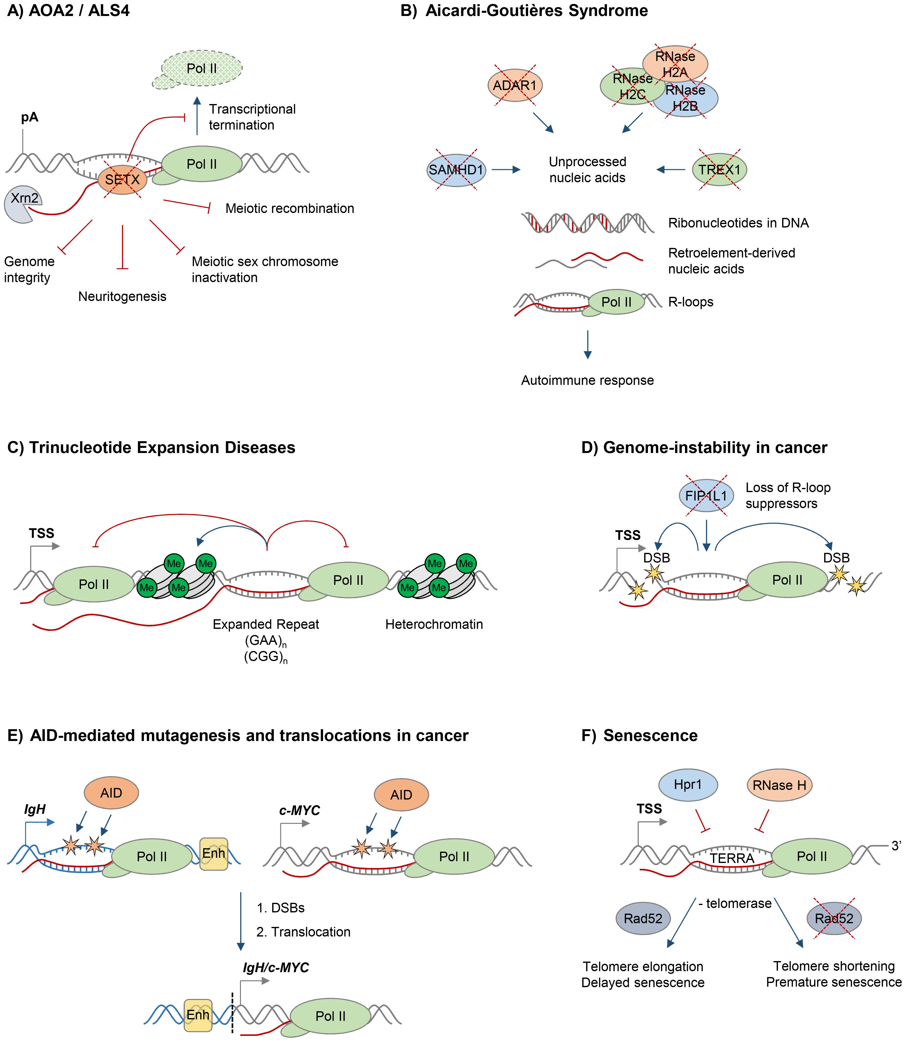 R-loops and human diseases.