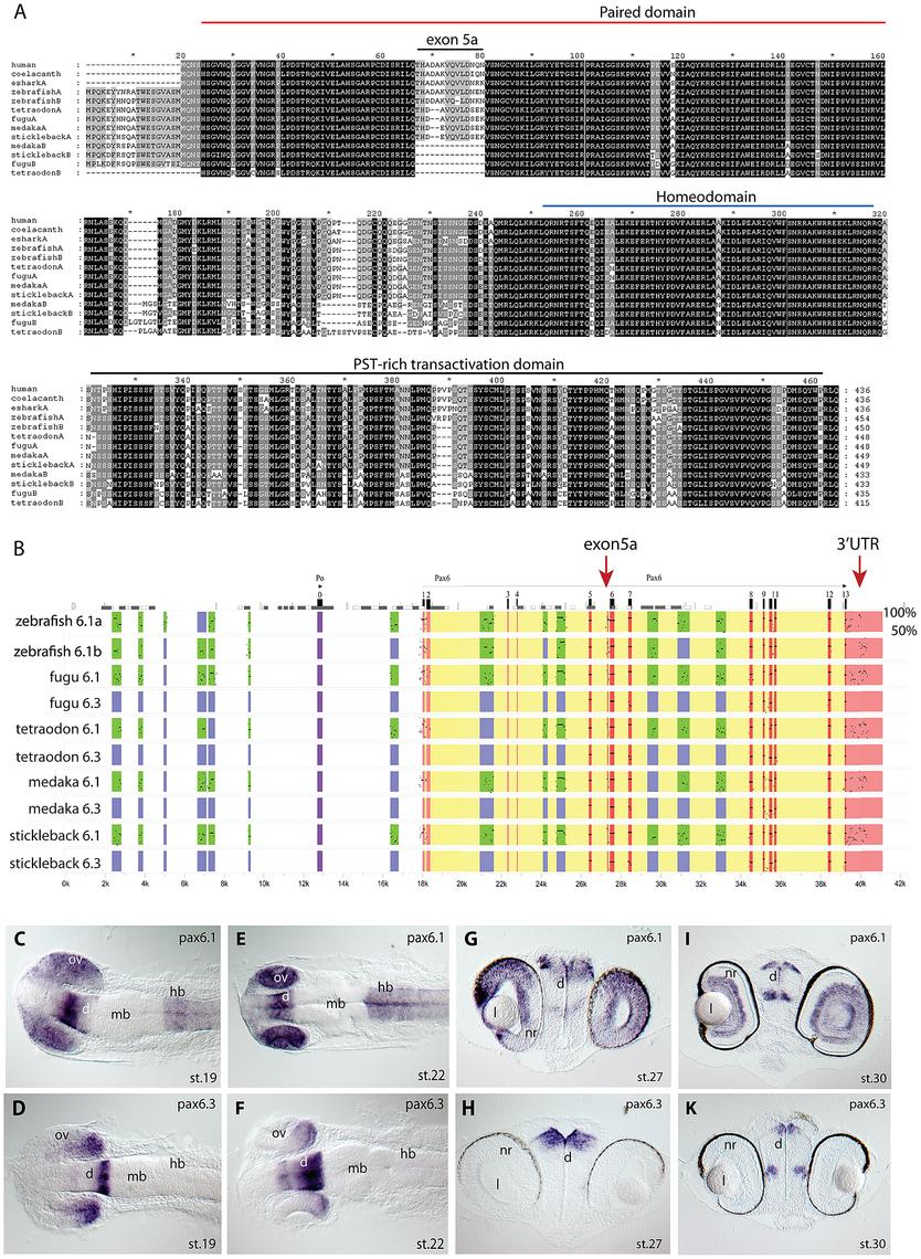 Pax6 gene duplicates in teleost fish.