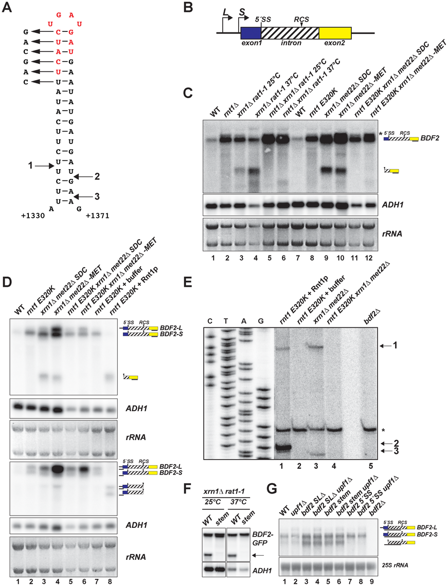<i>BDF2</i> mRNA contains a canonical Rnt1p target stem-loop within its intron and is cleaved by Rnt1p <i>in vivo</i> and <i>in vitro</i>.