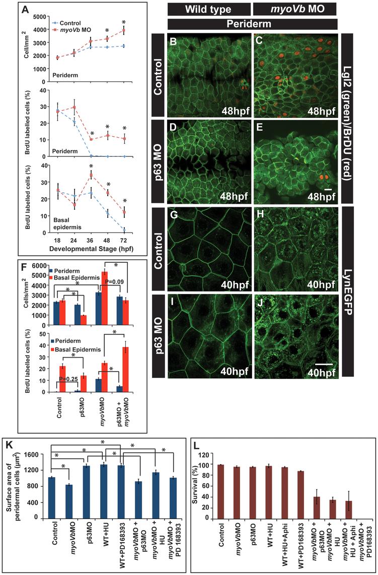 Two-way compensatory mechanism in zebrafish embryonic epidermis.