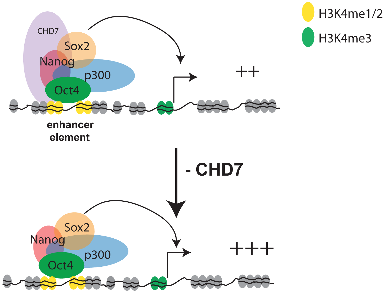 Model for CHD7-mediated transcriptional modulation in ES cells.