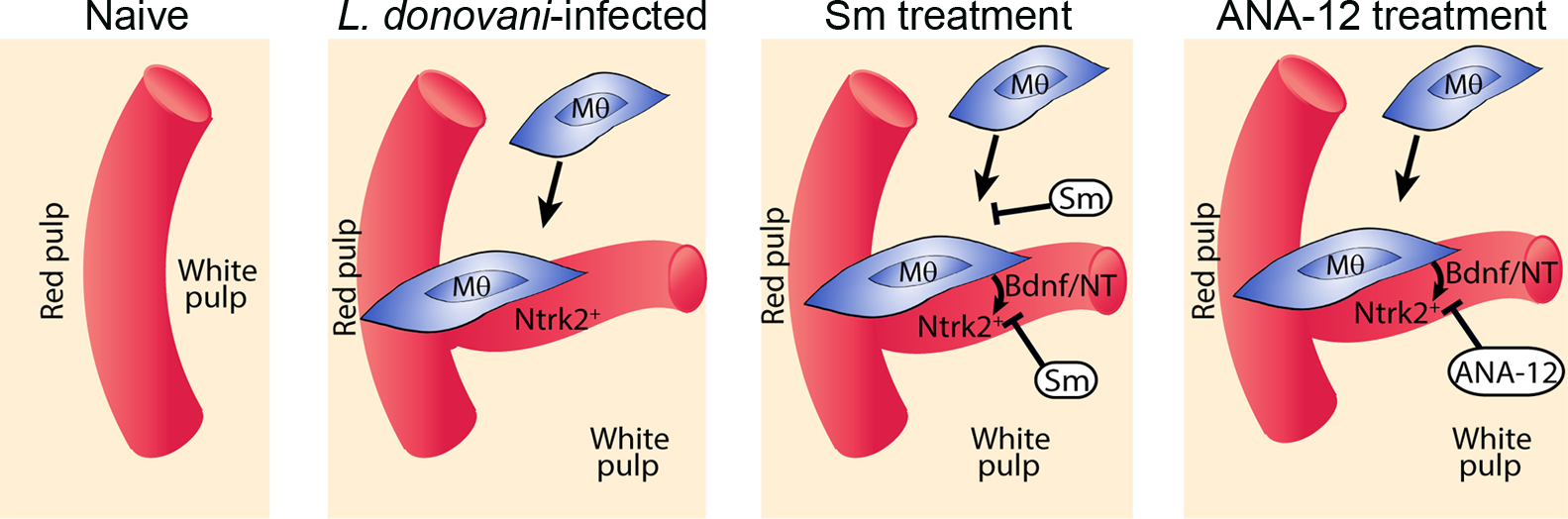 Schematic diagram of the effects of treatment with RTK inhibitors during <i>L.donovani</i> infection.