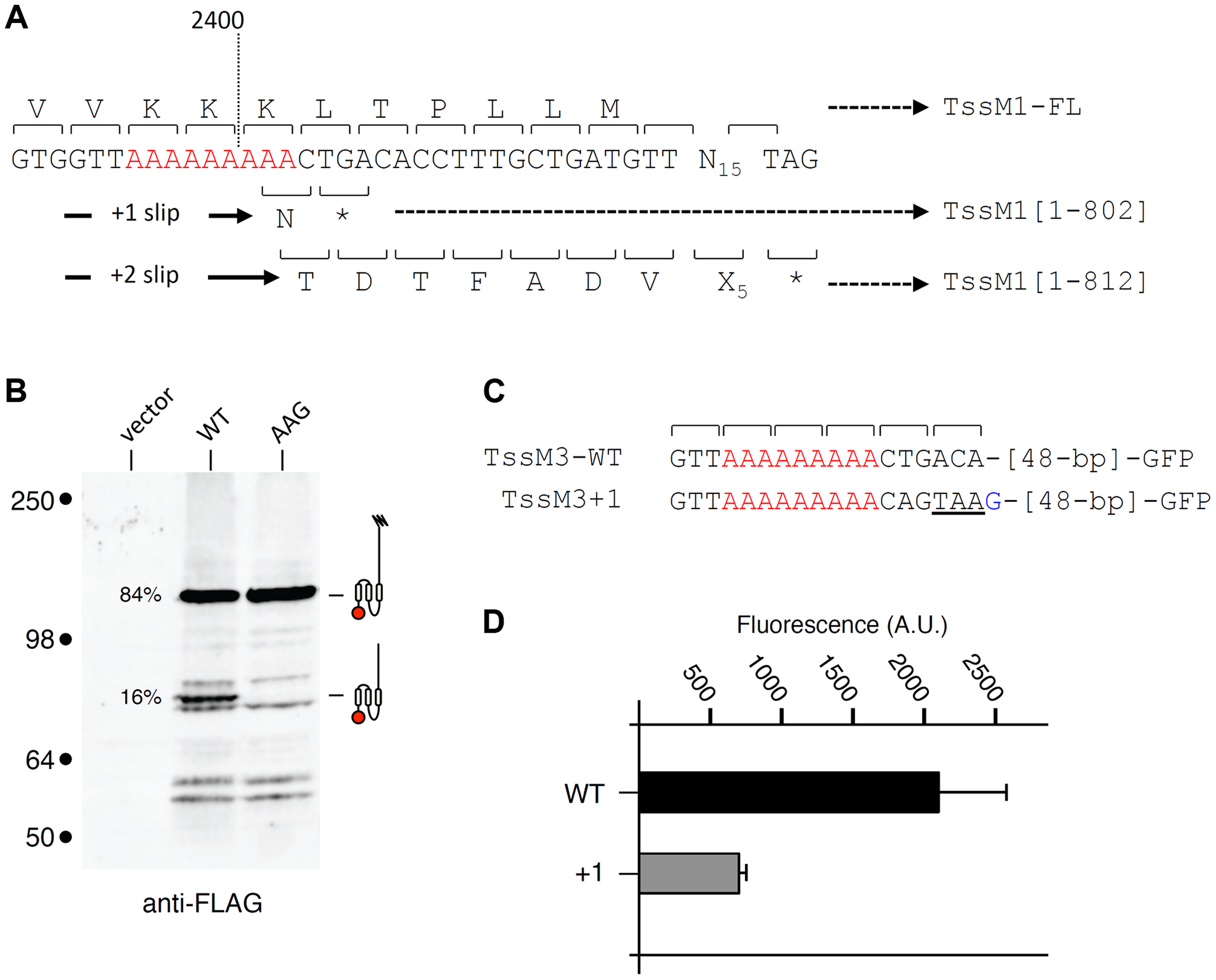Transcriptional slippage is conserved in <i>Y. pseudotuberculosis</i>.