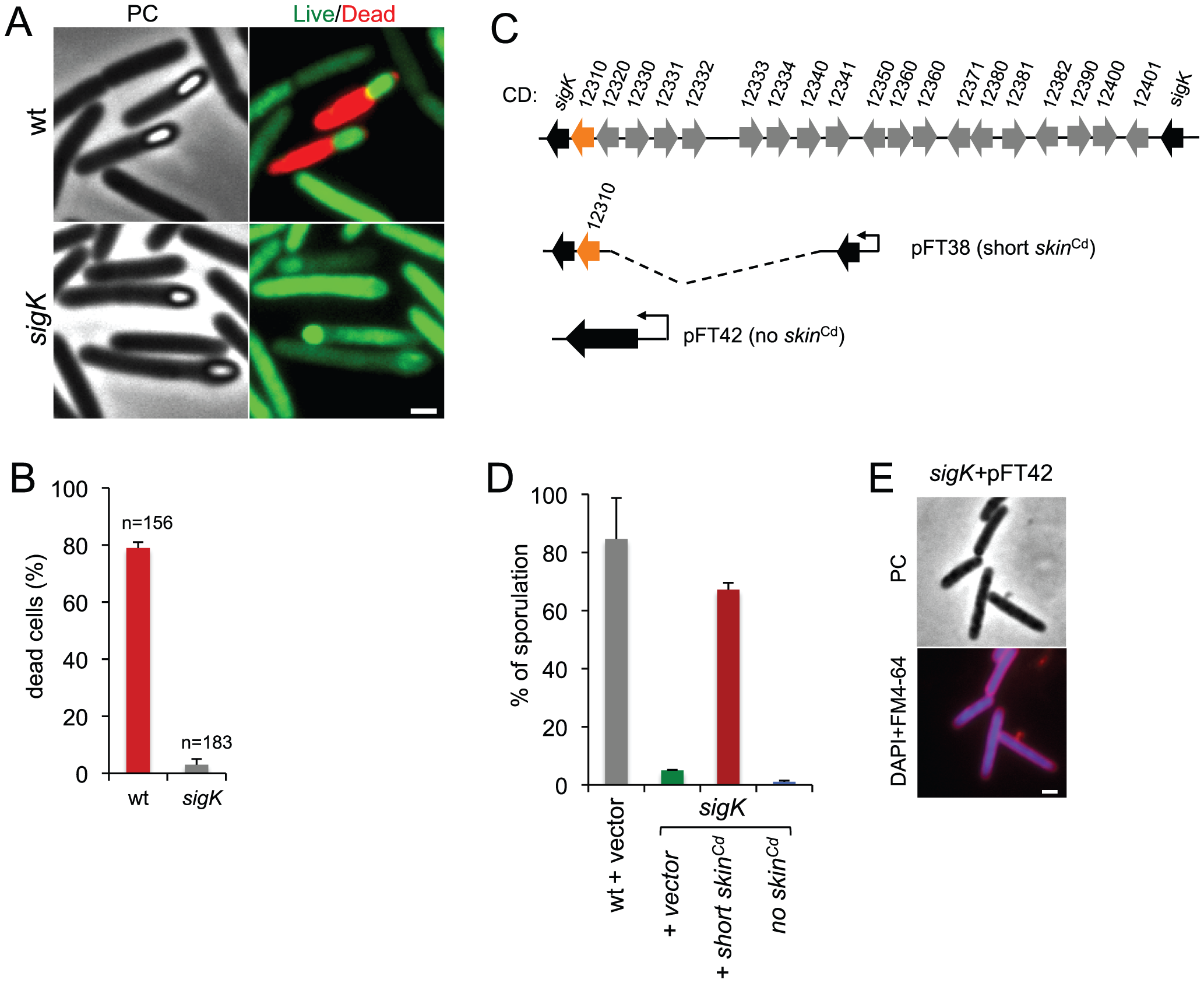 Functional analysis of the <i>sigK</i> gene.
