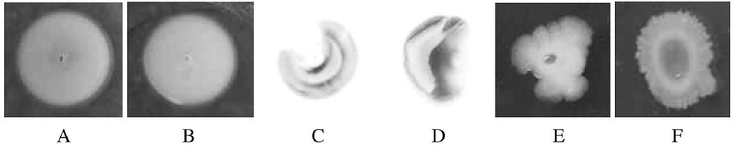 Test na swimming (A, B), twitching (C, D) a swarming (E, F) motilitu  Fig. 2. Swimming (A, B), twitching (C, D), and swarming (E, F) motility assays