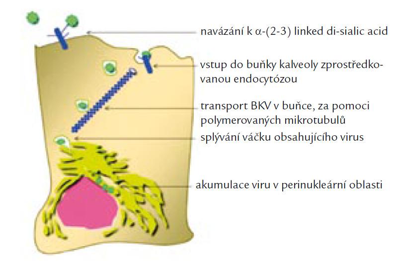 Infekční cesta vstupu BKV do buňky. Podle [12].