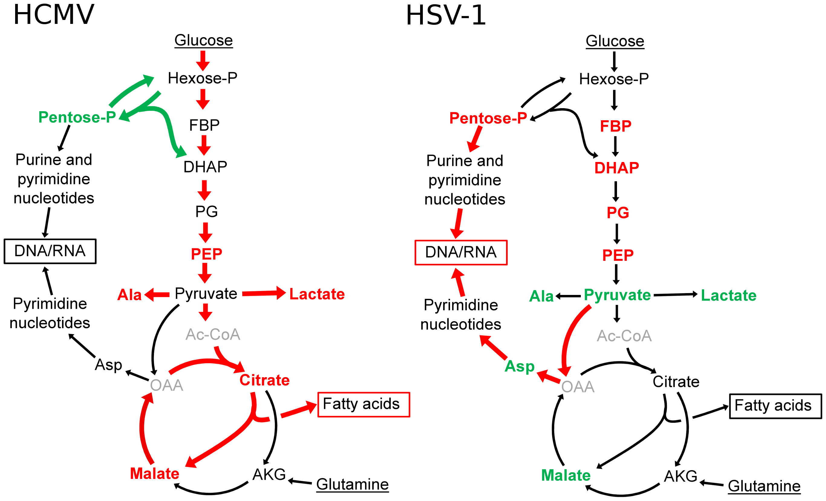 Divergent effects of HCMV and HSV-1 on central carbon metabolism.
