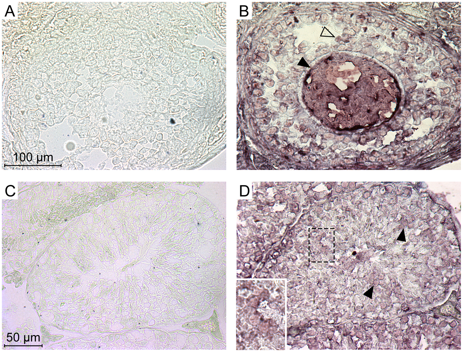 Expression of the Ephrin A proteins in mouse ovary and testis detected by immunohistochemistry.