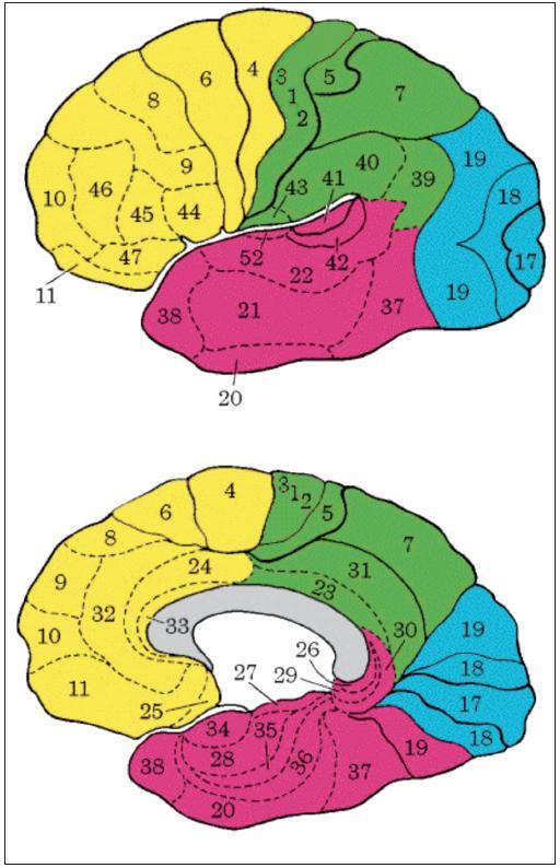 Brodmanova mapa cytoarchitektonických polí kůry lidského mozku; zevní plocha levé mozkové hemisféry, vnitřní plocha pravé mozkové hemisféry. Mapa je užitečná fikce, jednotlivá pole jsou u různých lidí plošně i objemově odlišná, jejich hranice jsou s výjimkou primárních senzorických polí méně ostré