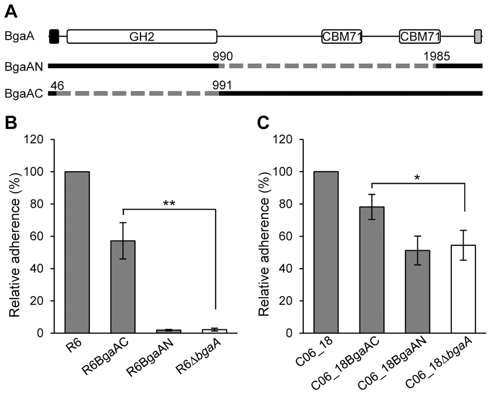 The C-terminal region of BgaA is sufficient to facilitate BgaA mediated pneumococcal adherence.