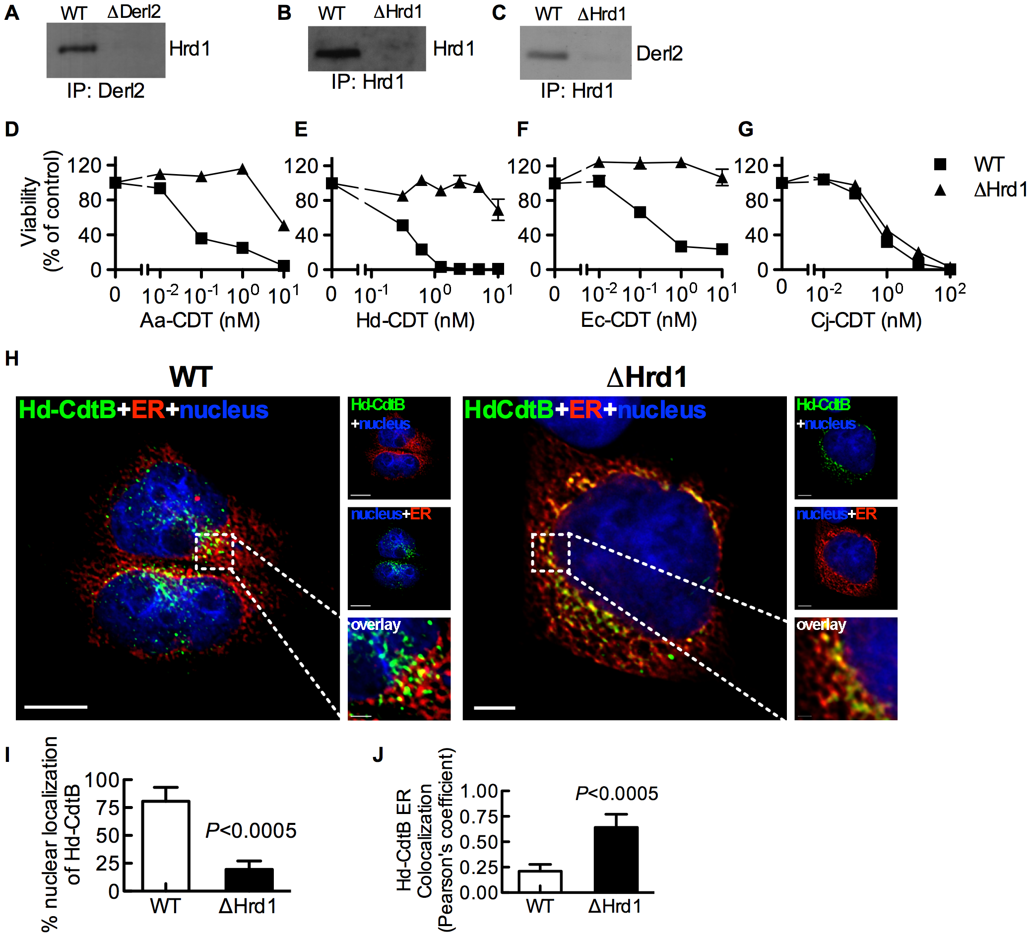 Hrd1 is required for CDT intoxication.