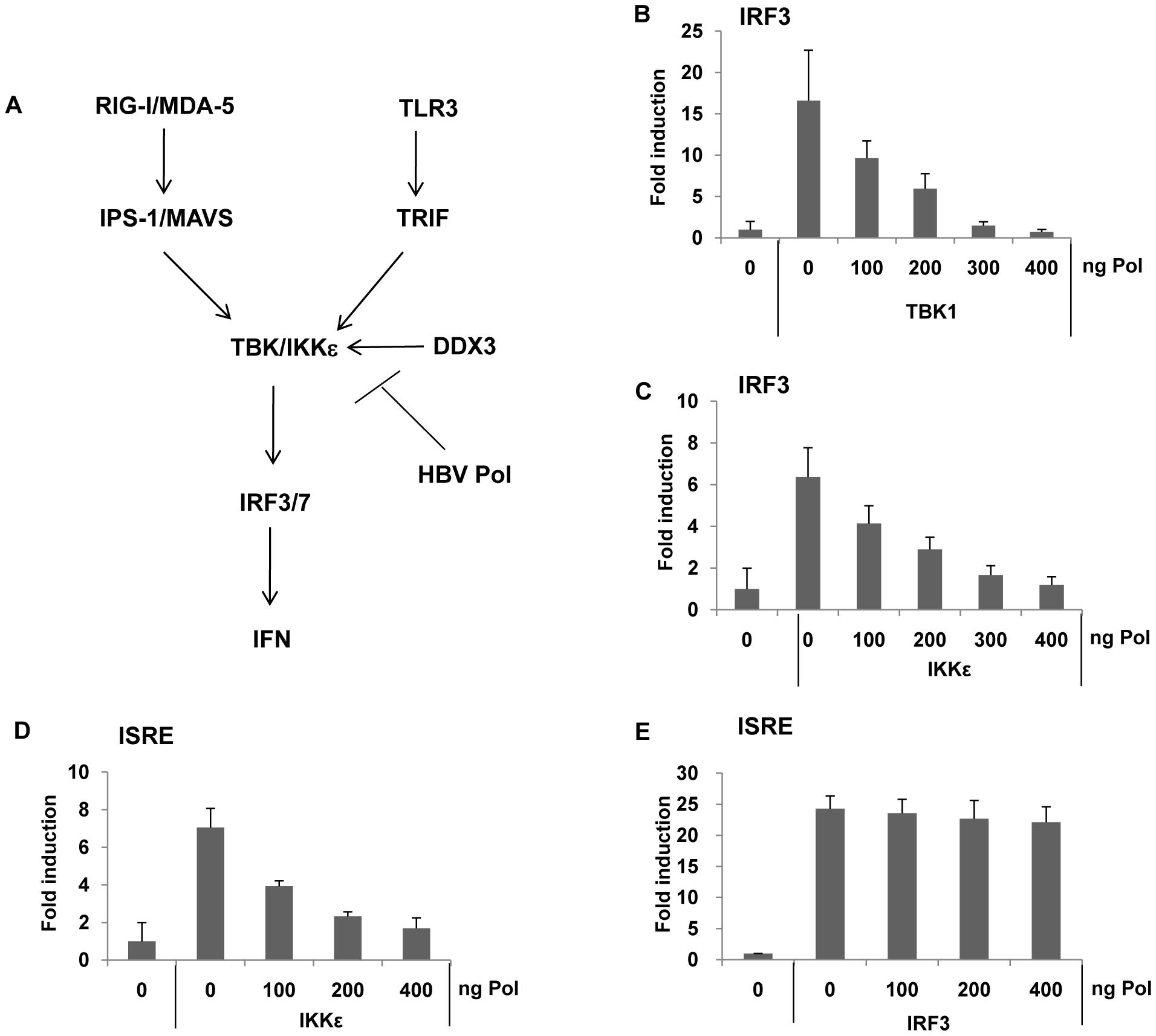 HBV Pol blocks IRF activation by inhibiting TBK1/IKKε activity.