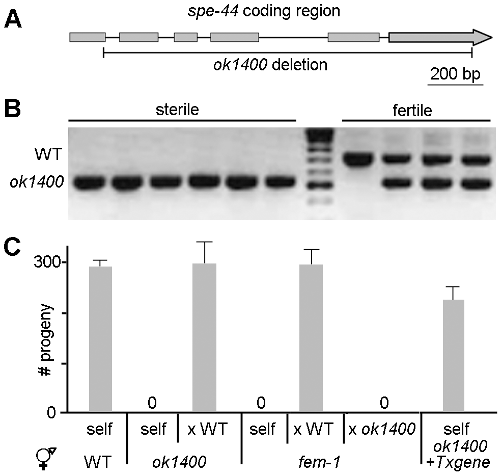 <i>spe-44(ok1400)</i> mutation causes sperm-specific sterility.