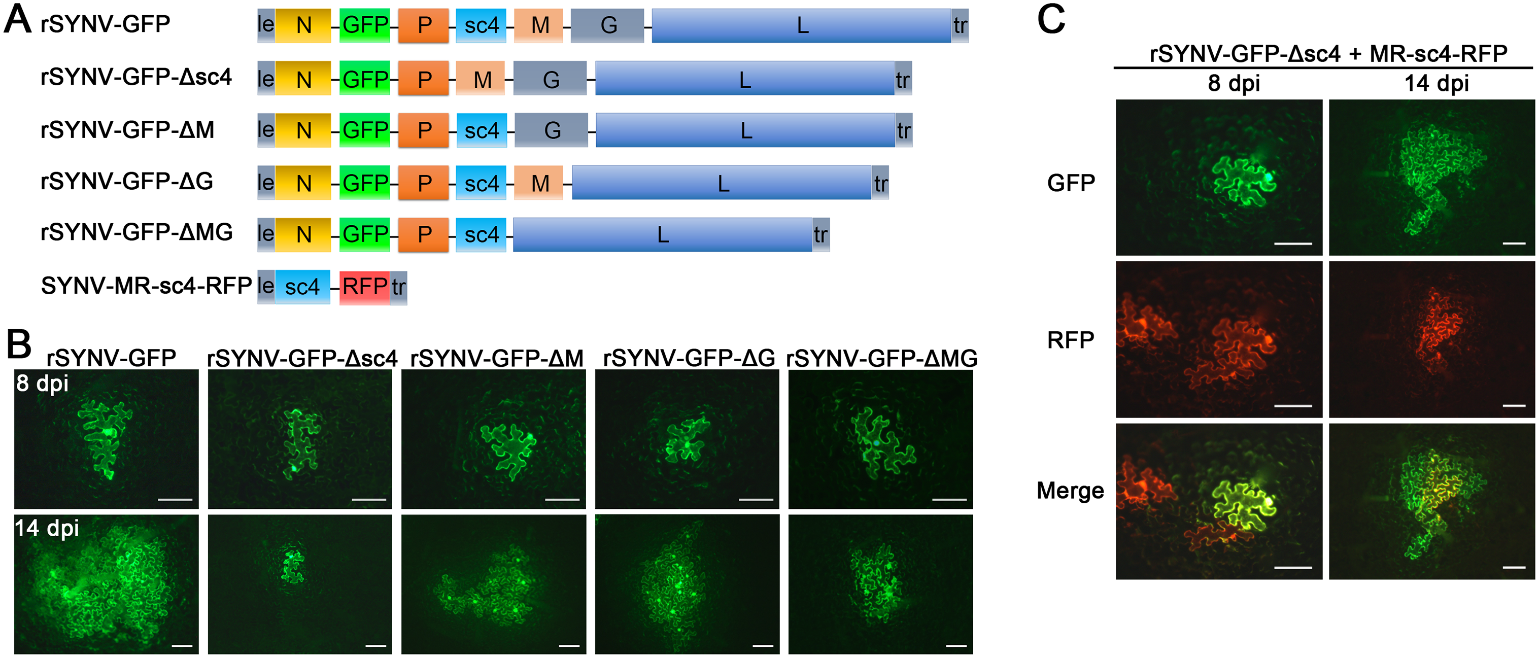Cell-to-cell movement analysis of rSYNV sc4, M and G deletion mutants.
