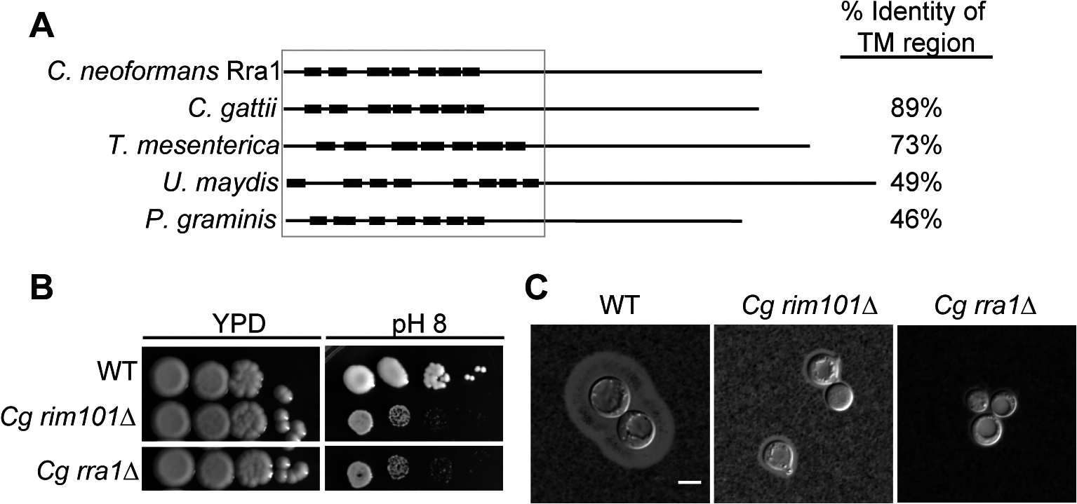 Rra1 is a membrane protein and is conserved through Basidiomycete fungi.