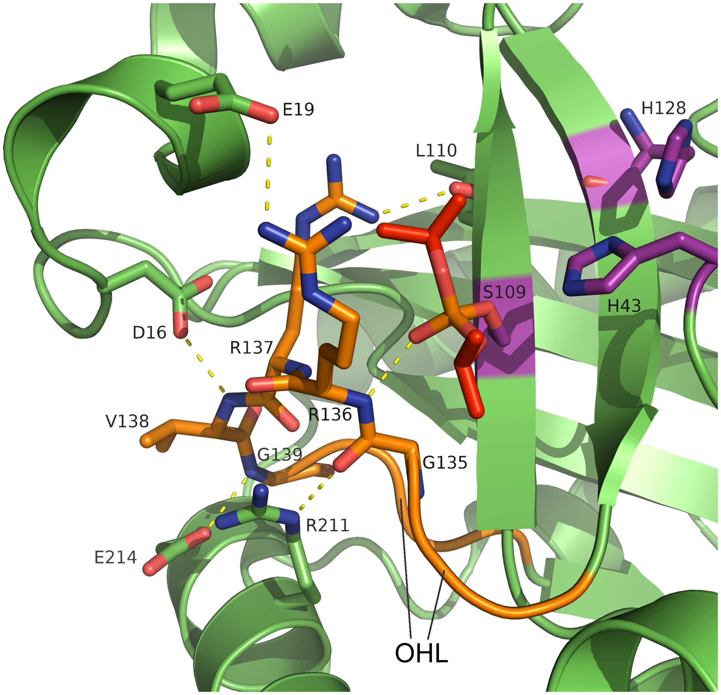 Active site and oxyanion hole loop of inhibited dimeric pUL26N from PrV.