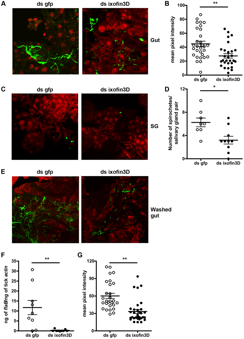 RNA-mediated knockdown of <i>ixofin3D</i> expression results in decreased aggregation of <i>Borrelia burgdorferi</i> on the gut.