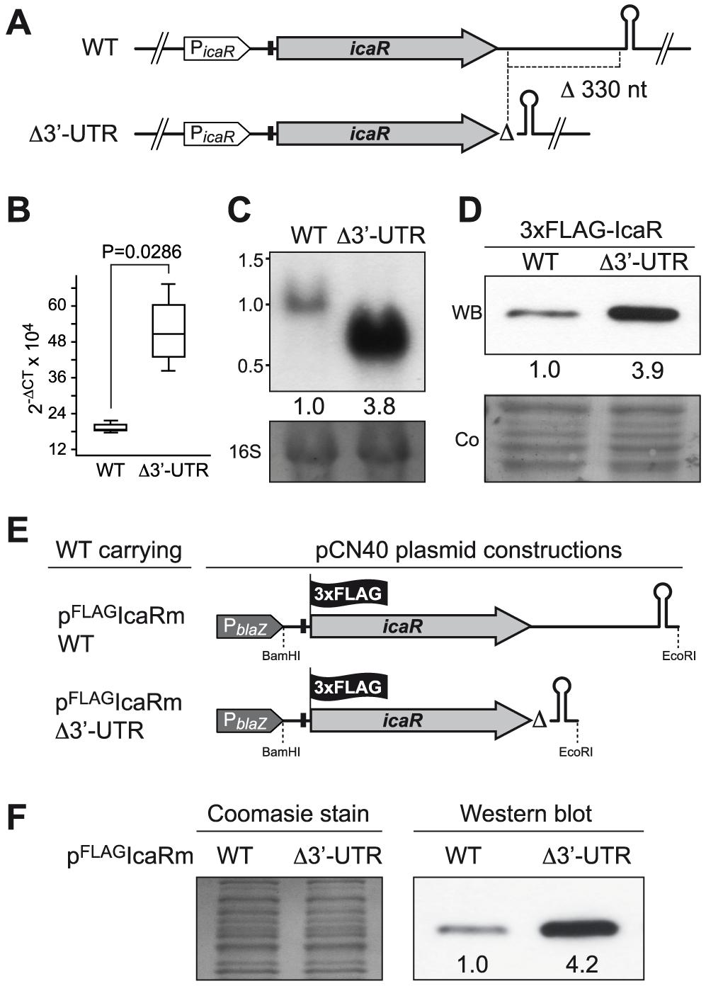 <i>icaR</i> 3′-UTR post-transcriptionally modulates IcaR expression.