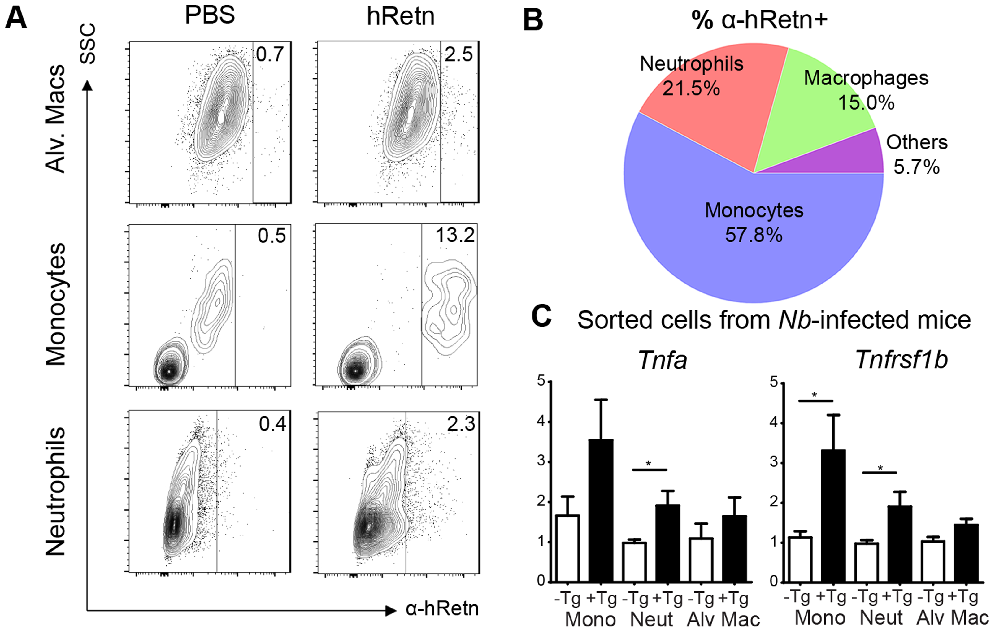 Monocytes and neutrophils are the main cellular targets of hResistin during <i>Nb</i> infection.