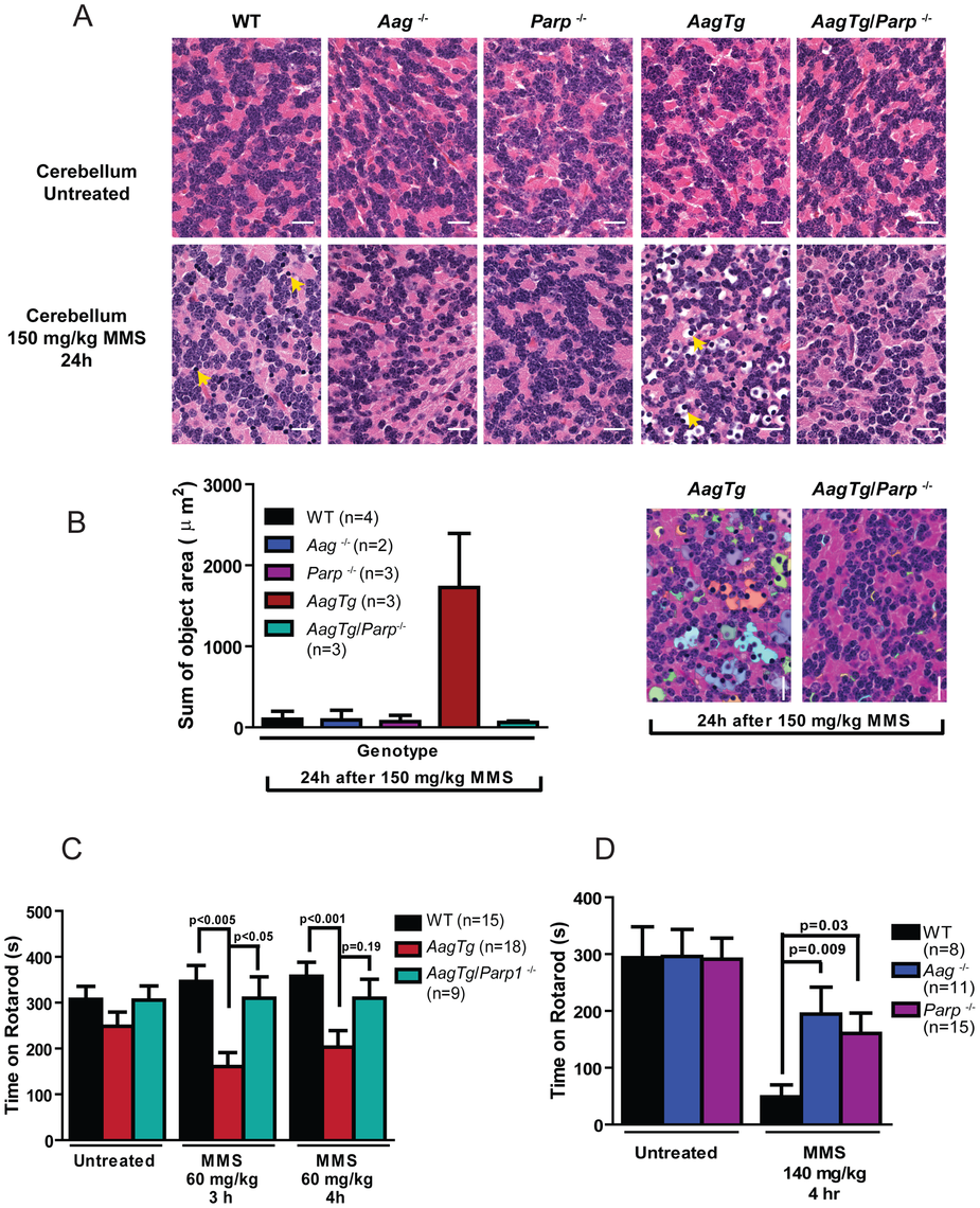 Parp1 deficiency protects against Aag-dependent, MMS-induced motor dysfunction.