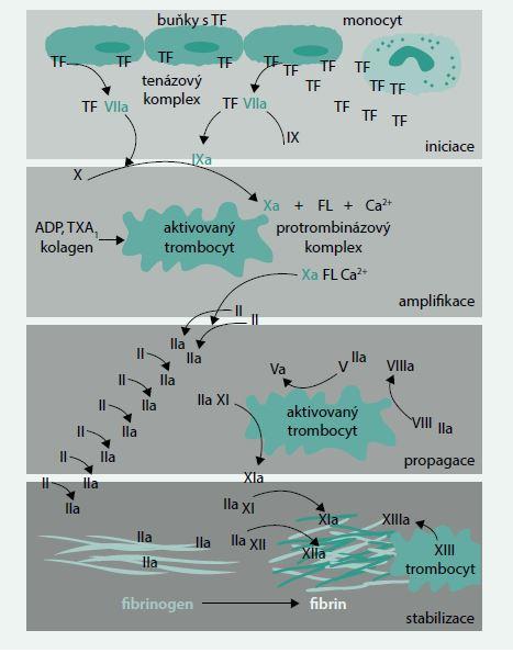 Modifikované schéma koagulační kaskády podle současně platných názorů