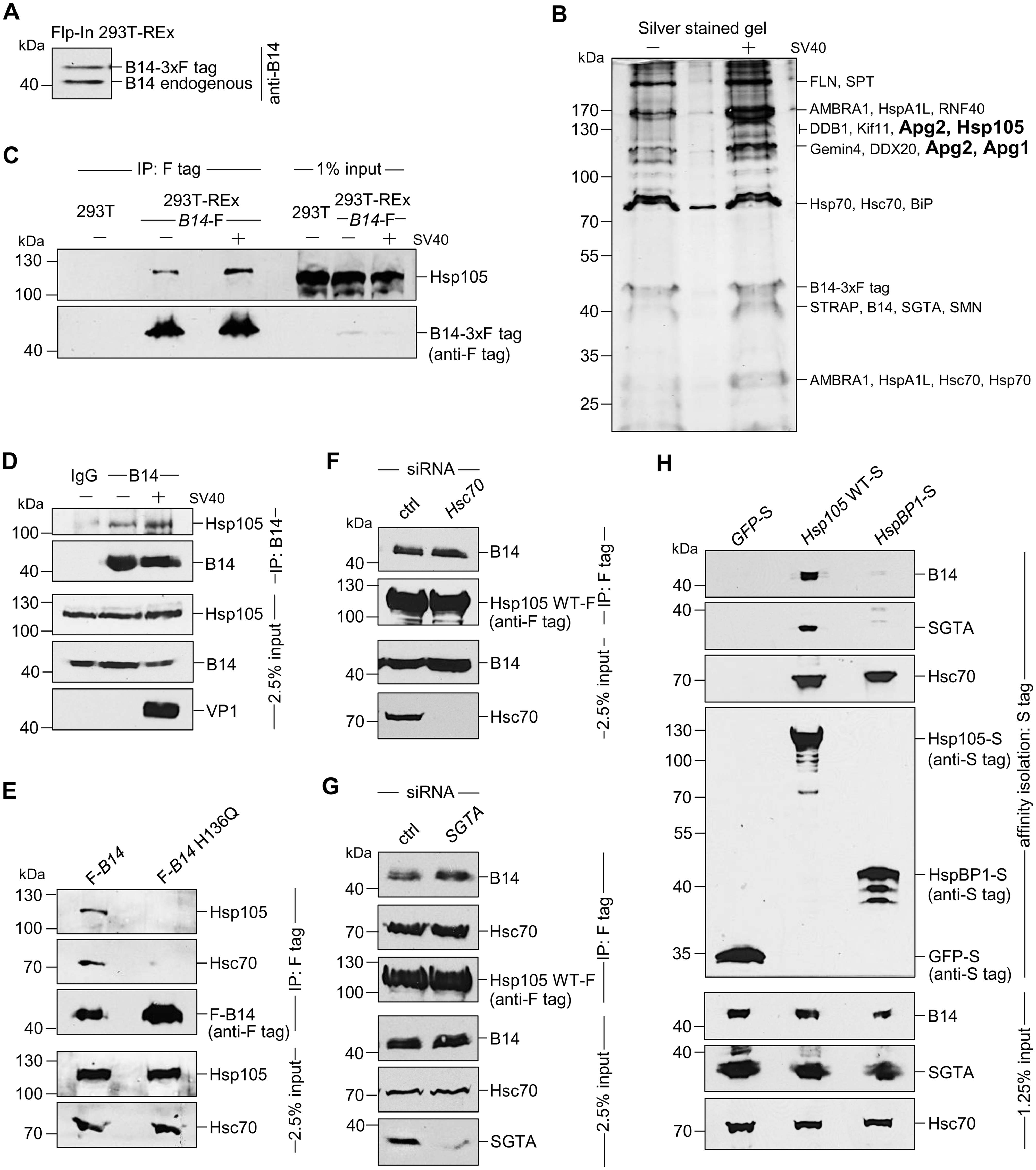 The cytosolic Hsp105 interacts with the ER membrane J-protein B14