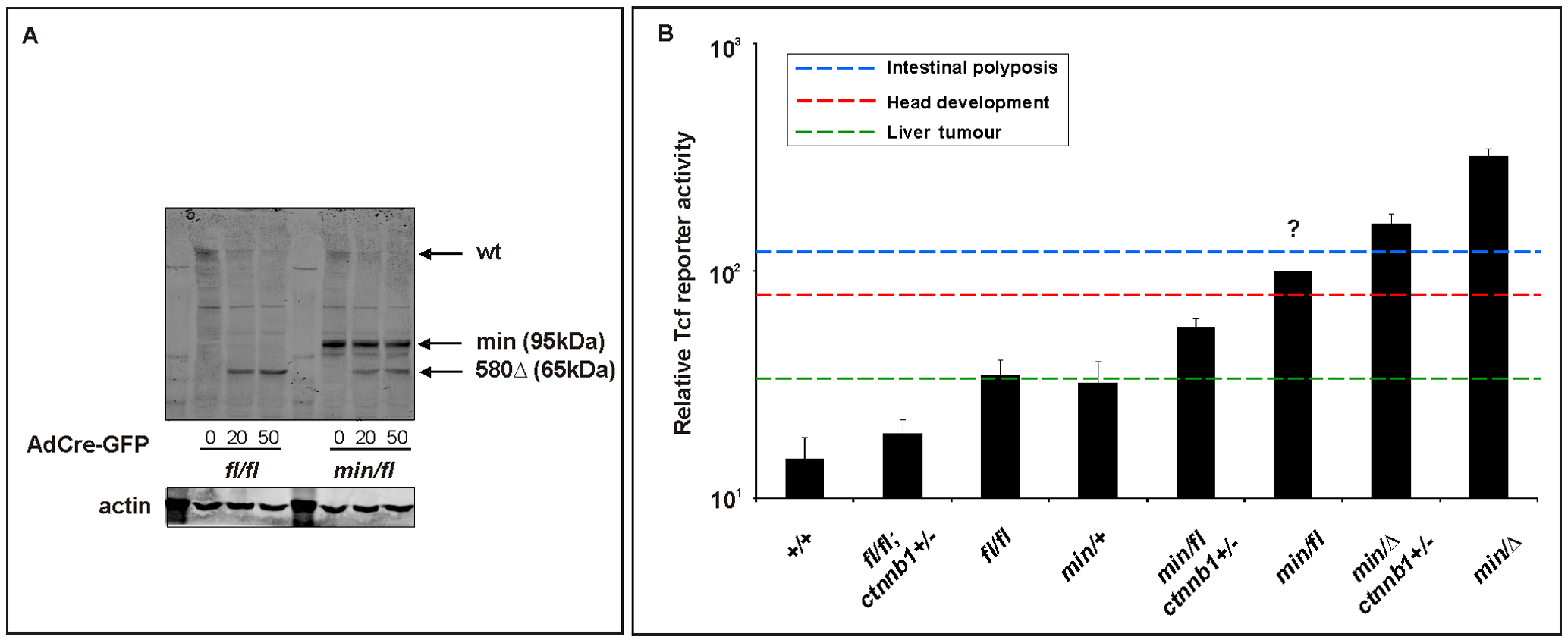 <i>In vitro</i> assessment of Wnt signaling in MEFs from <i>Apc</i> hypomorphic mice.