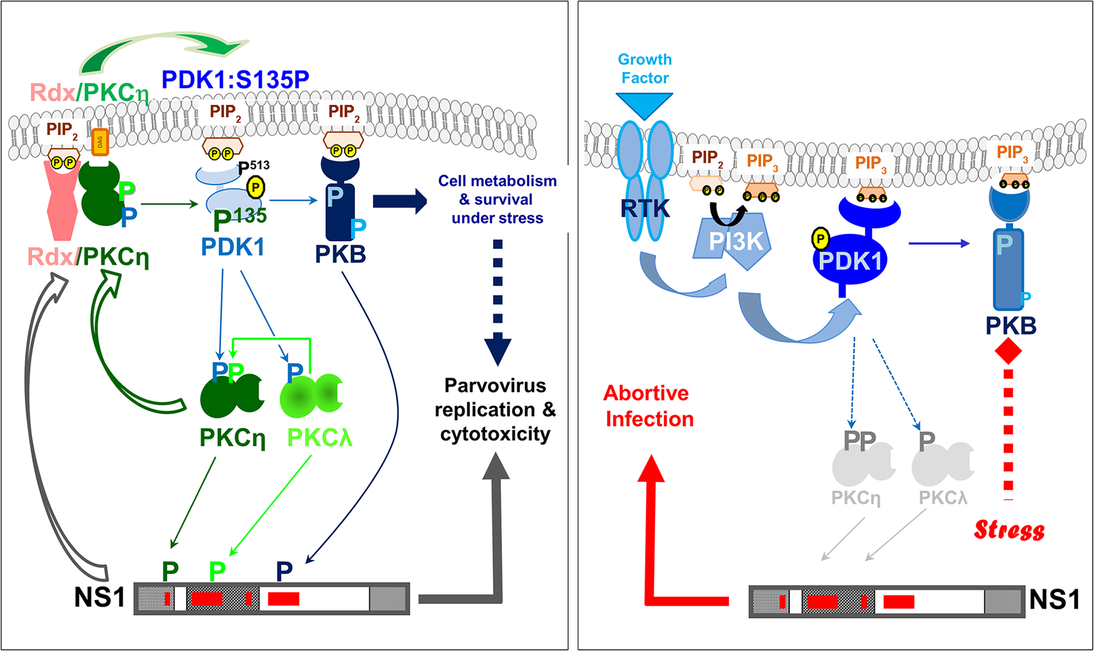 Interdependence of PV propagation and activation of the PDK/PKC/PKB signaling cascade.