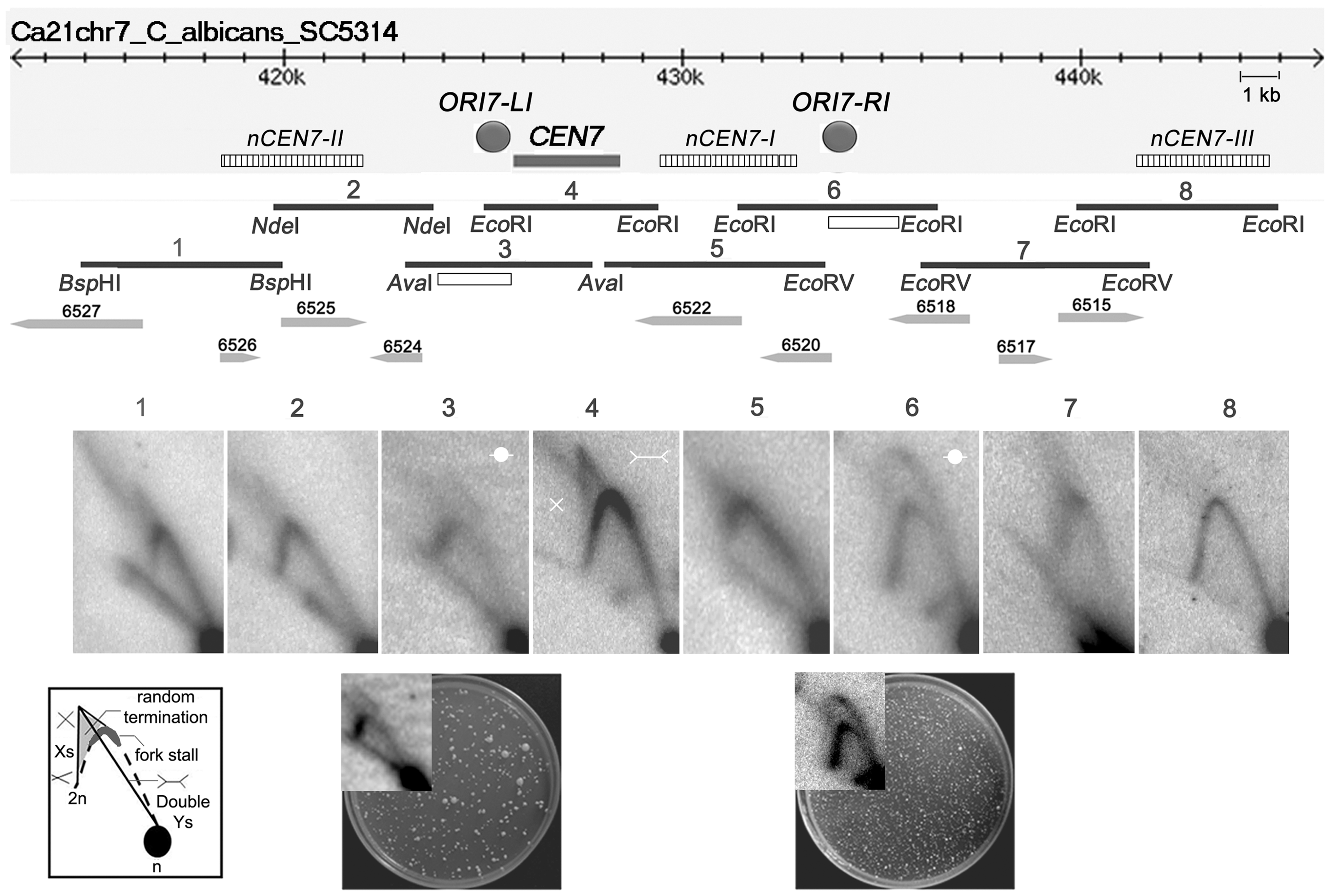 Replication forks stall/terminate randomly during centromere replication.