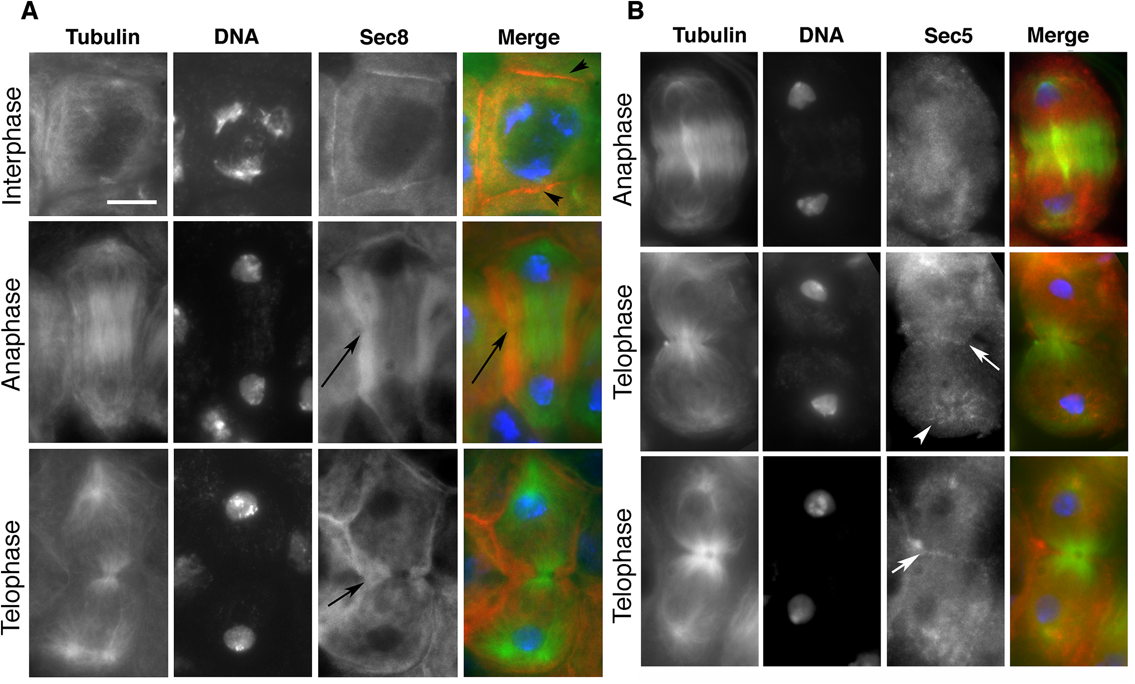 Localization of exocyst complex proteins in dividing spermatocytes.