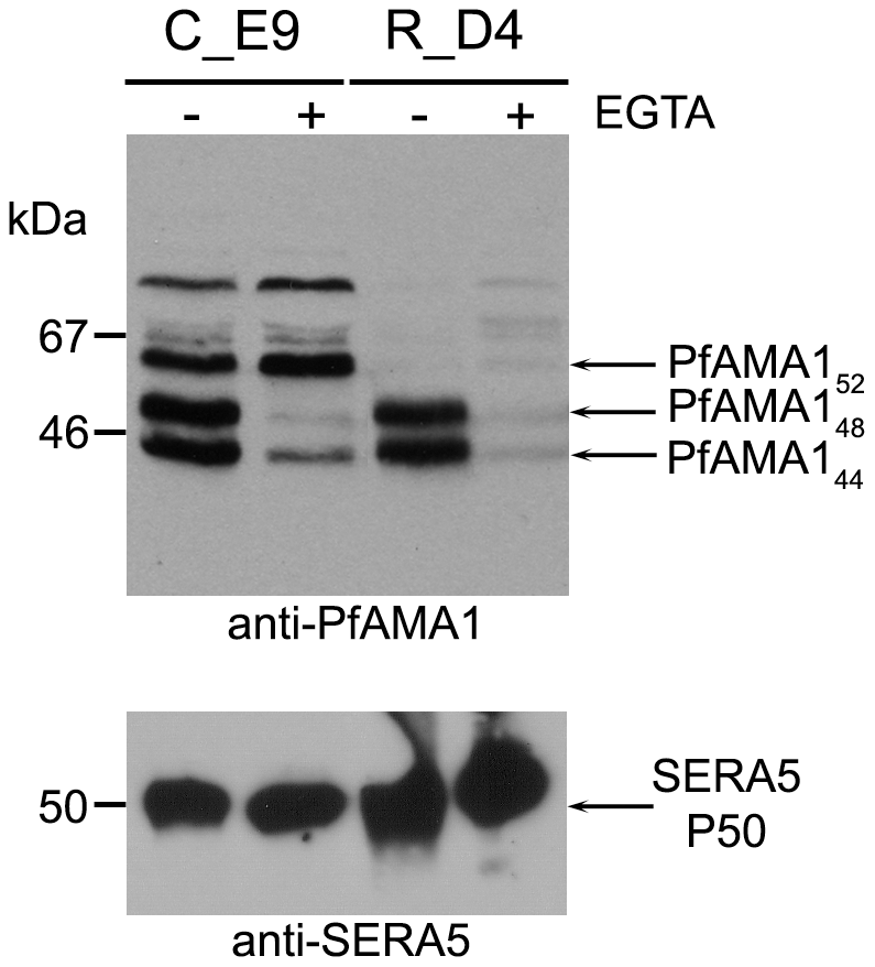 Mutation of the intramembrane cleavage site in PfAMA1 inhibits shedding by intramembrane processing.