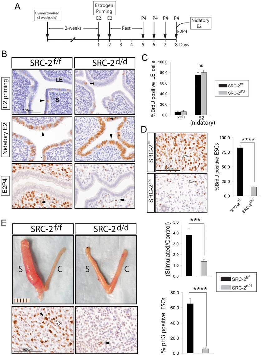 Endometrial receptivity requires SRC-2 dependent ESC proliferation in the mouse.