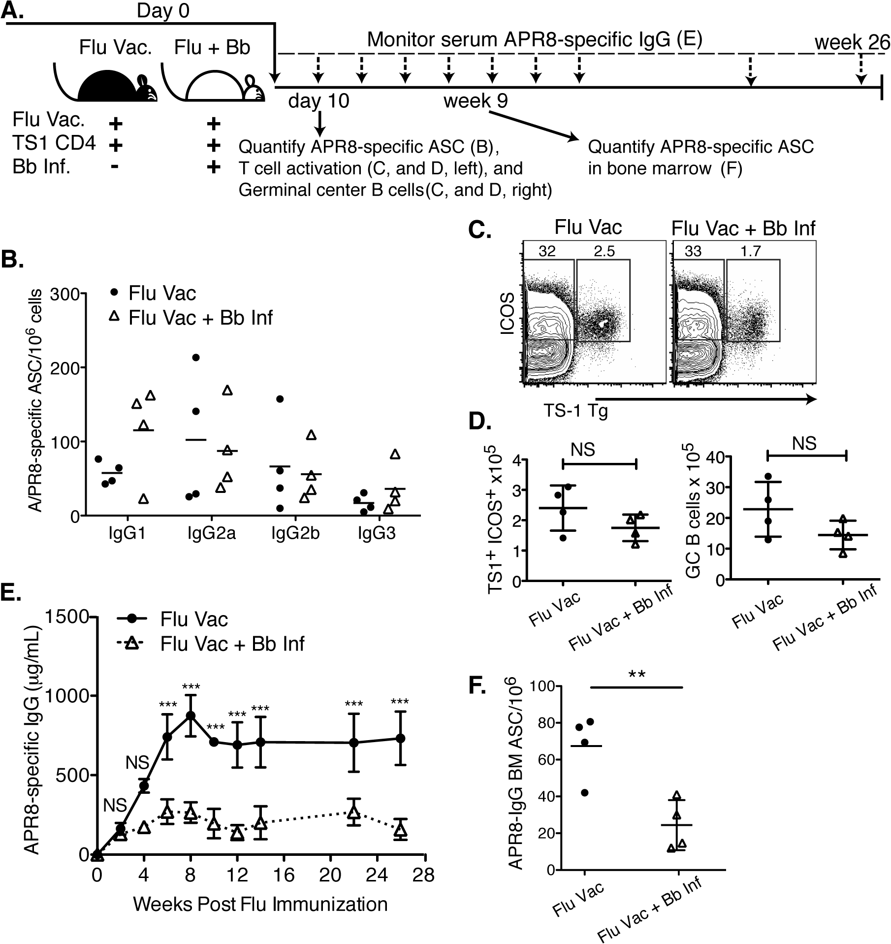 Infection with <i>B</i>. <i>burgdorferi</i> suppresses the generation of protective IgG responses to influenza vaccination.