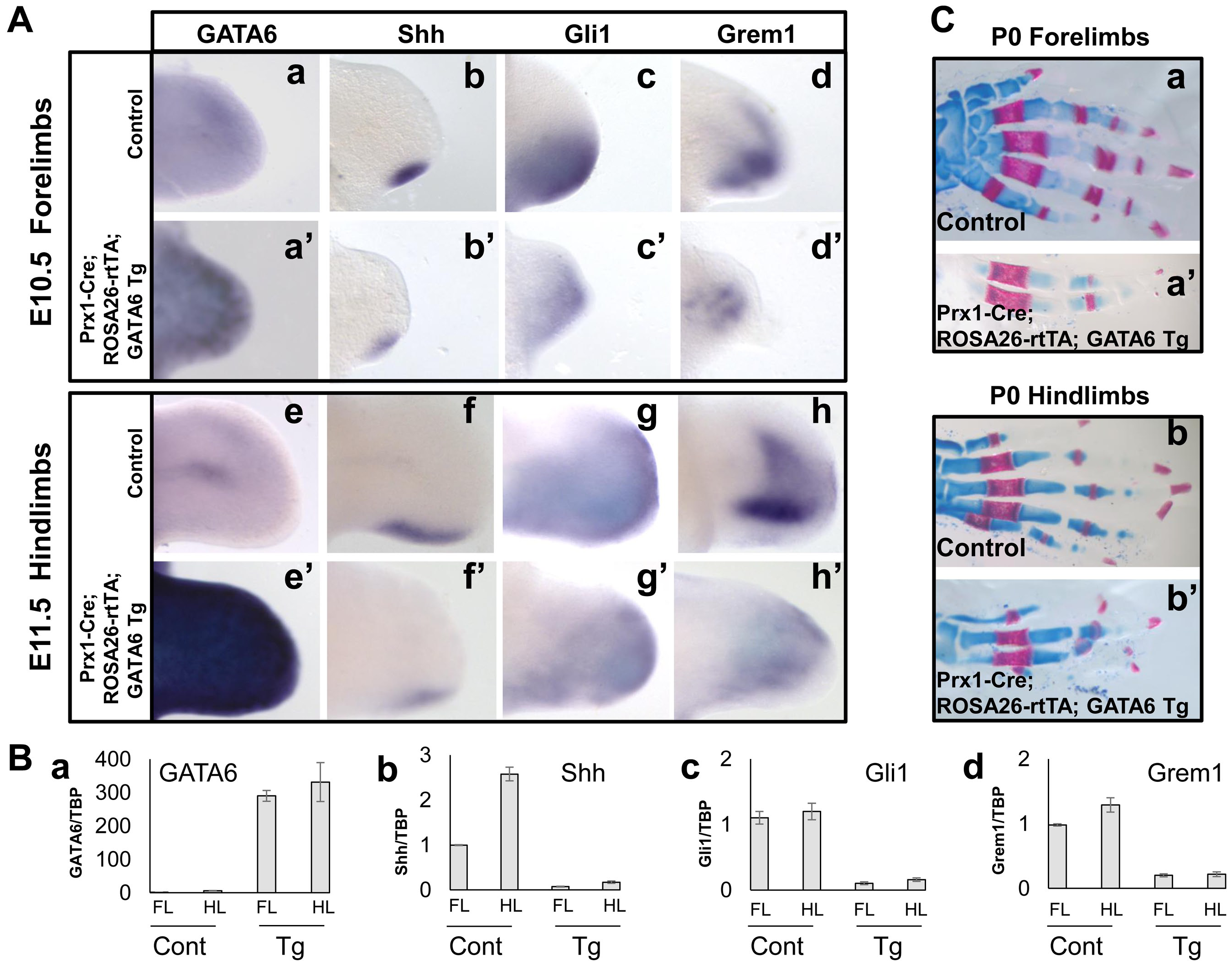 Transient forced expression of GATA6 throughout the developing limb bud represses induction of Shh, Gli1, and Grem1, and results in loss of digits.