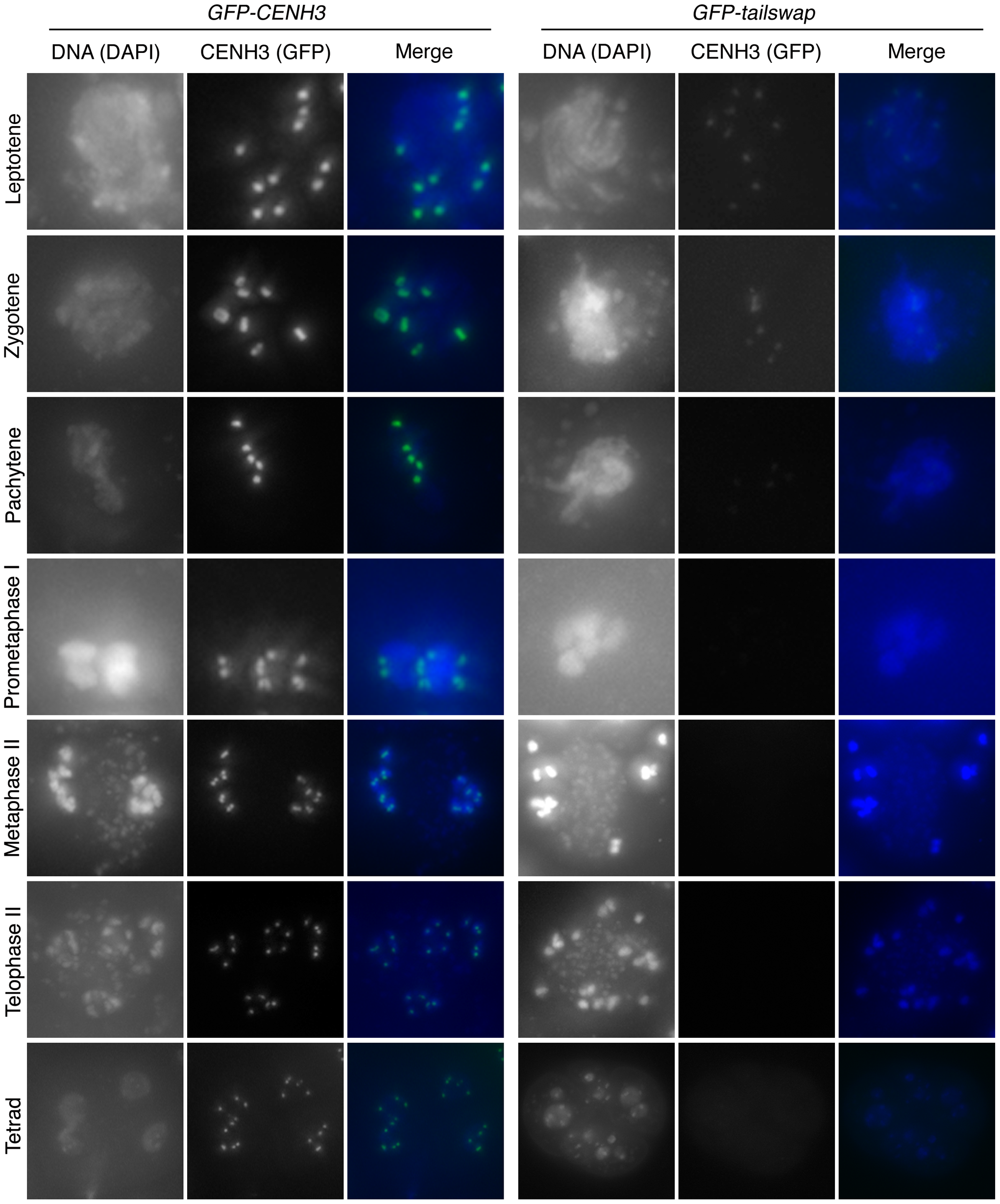 Depletion of GFP-tailswap protein from kinetochores continues progressively during meiosis.